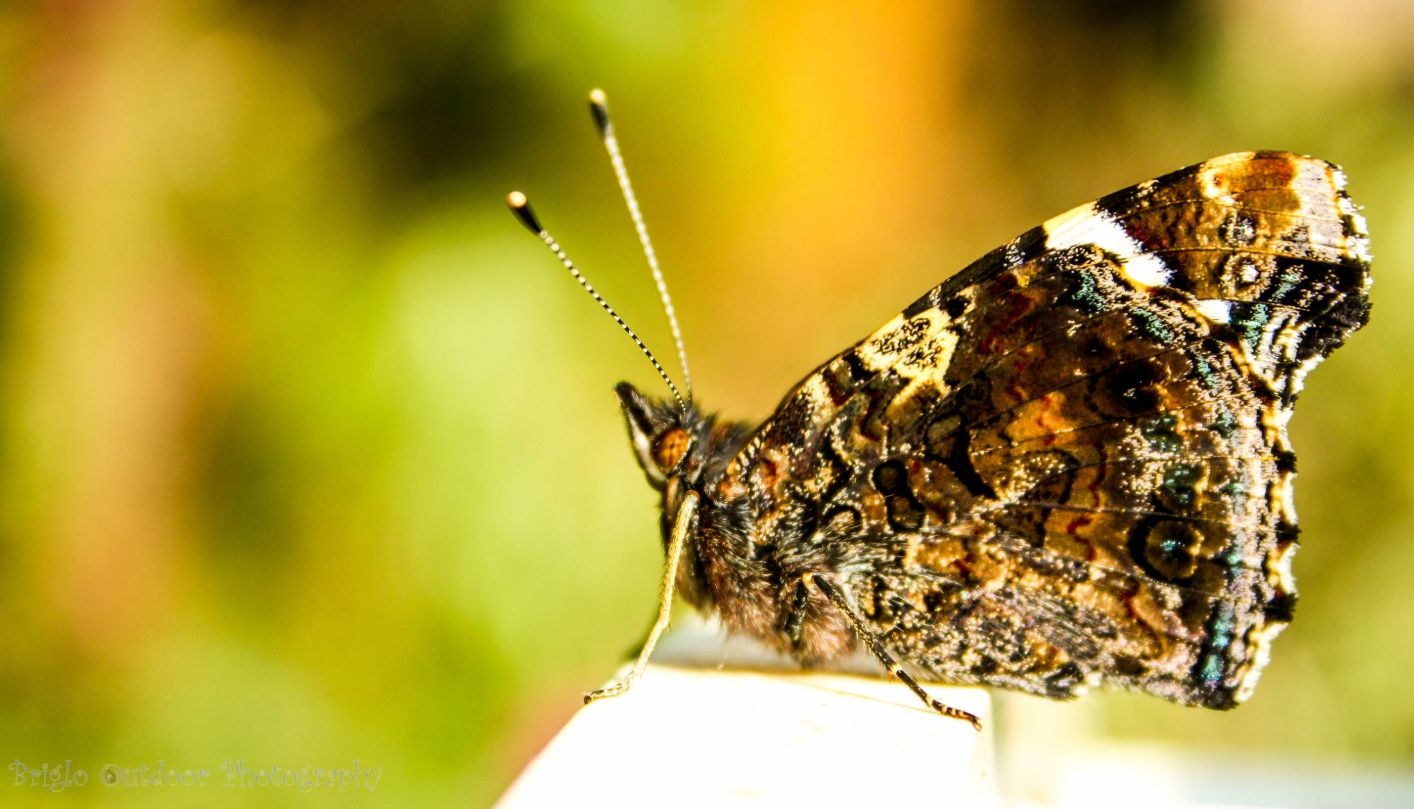 Butterfly by Briglo Outdoor Photography