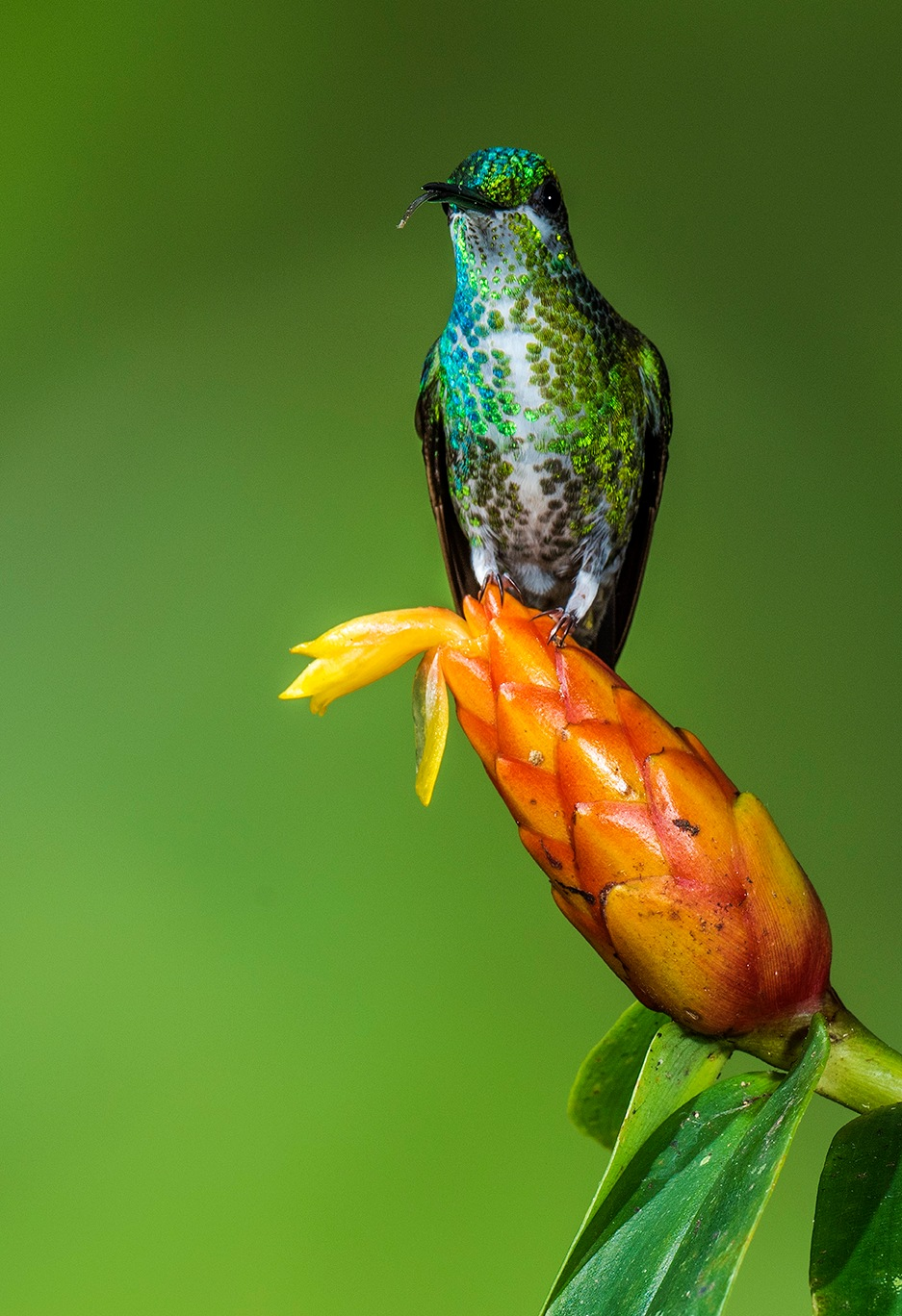 Green Crowned Brilliant by Wally_Nussbaumer