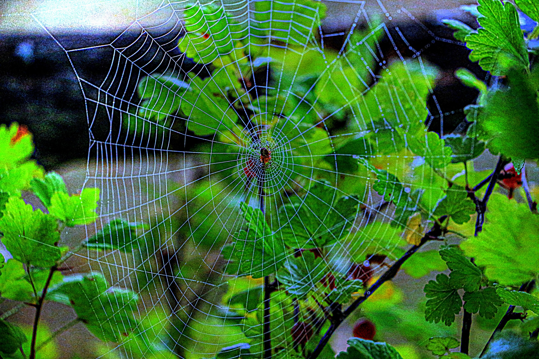 Web on my gooseberrie tree... by chefbro53
