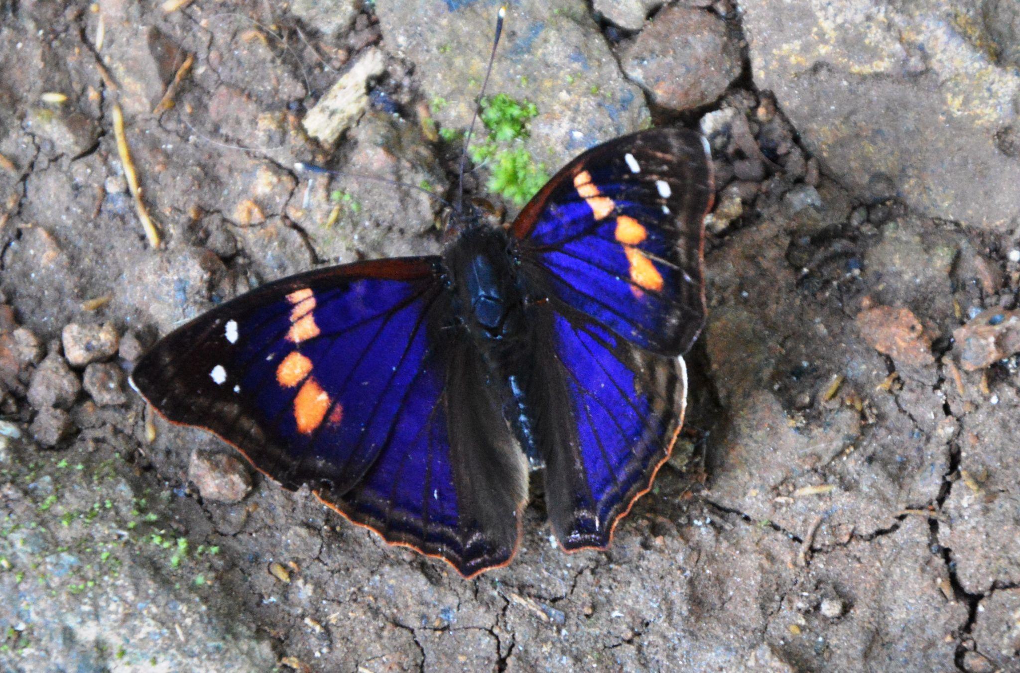 Brasil - Butterfly by frankska63
