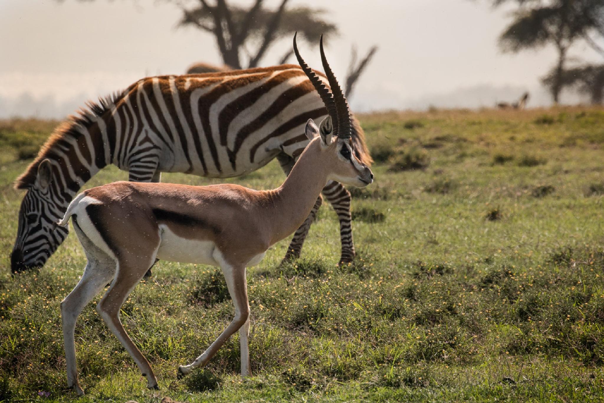 Thompson's gazelle, Crescent Island Naivasha Kenya by mgj