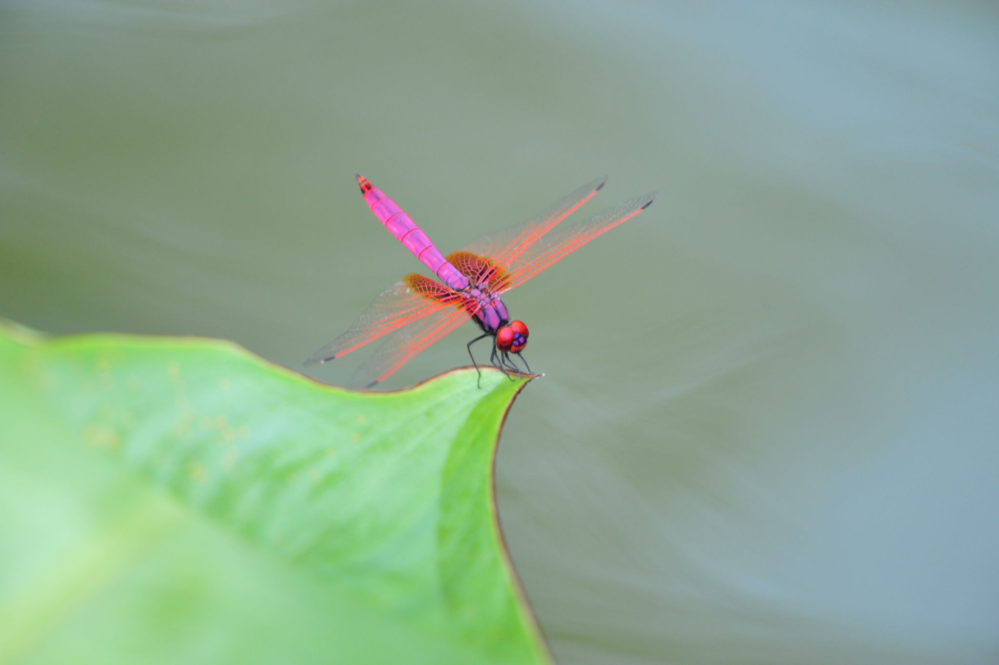 Dragon fly by Stanley Wong