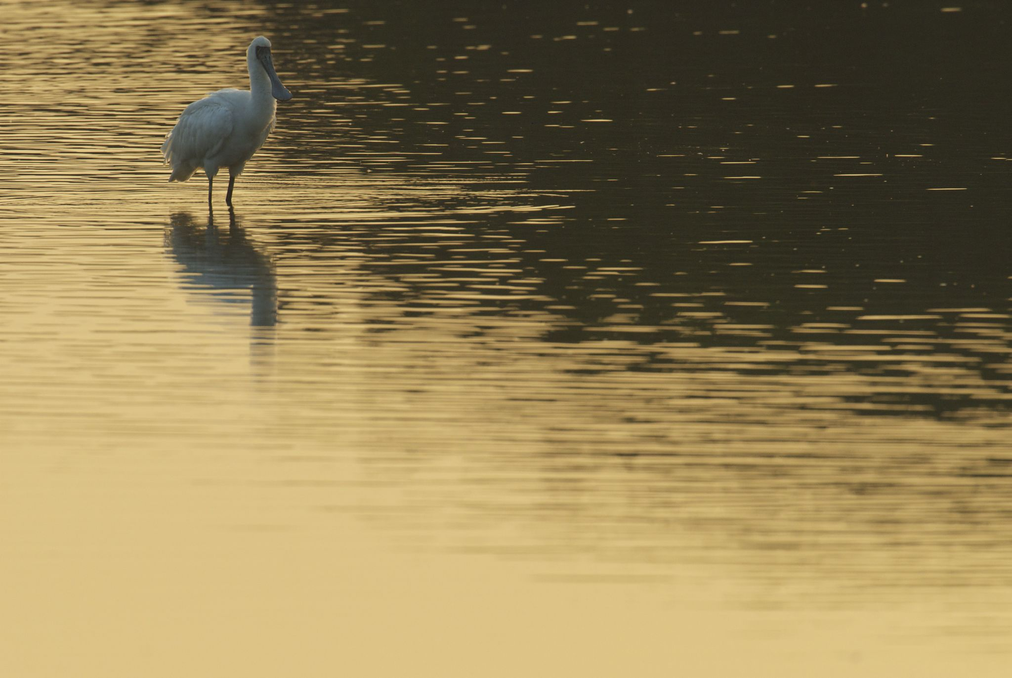 Black-faced Spoonbill by Stanley Wong