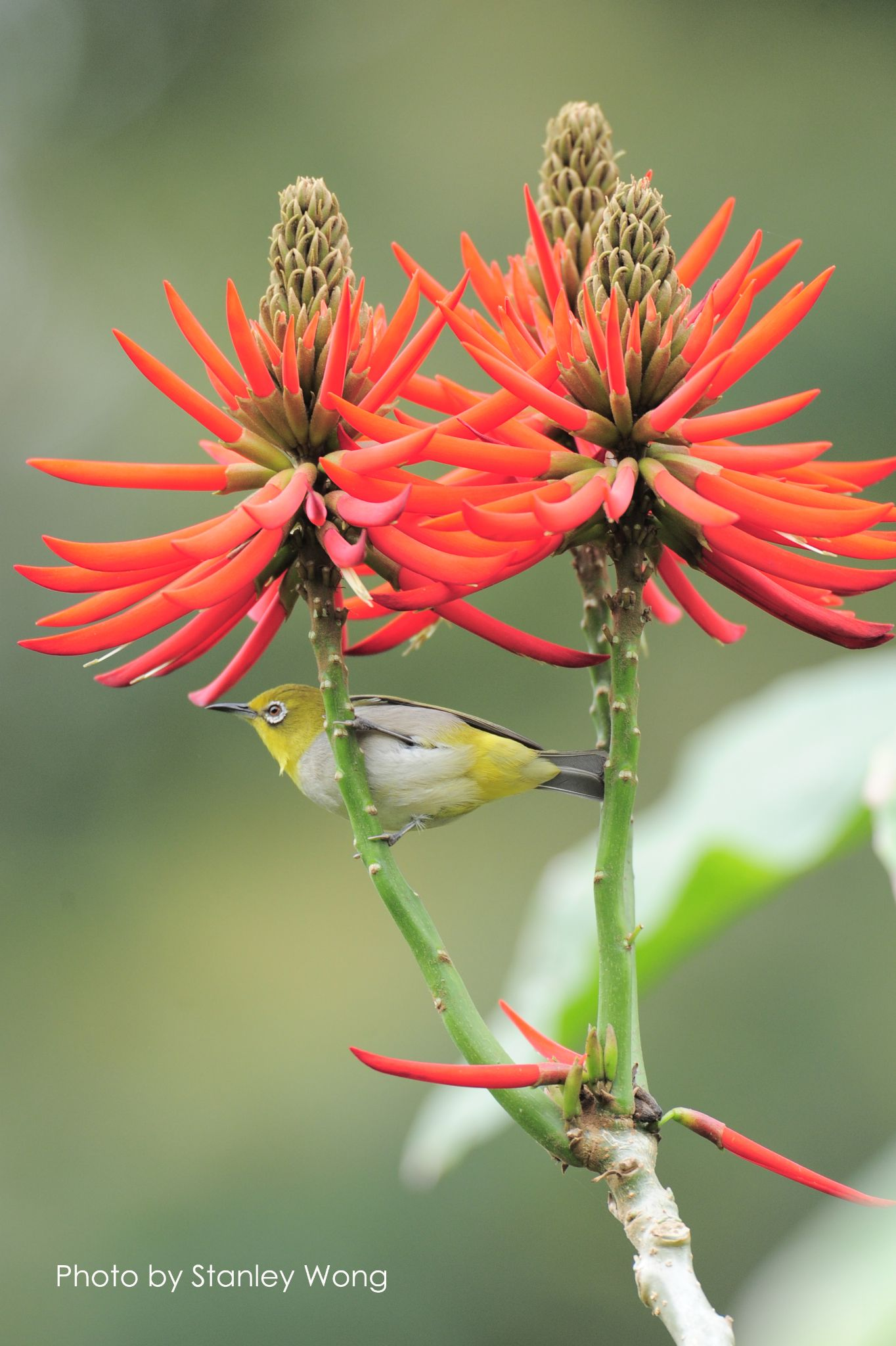 Japanese White-eye and coral tree flowers by Stanley Wong