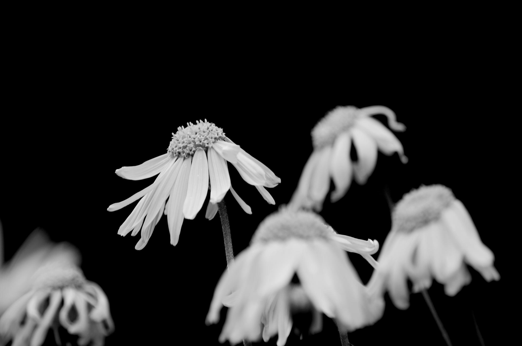 Photo in Fine Art #bw #black and white #flower #dof