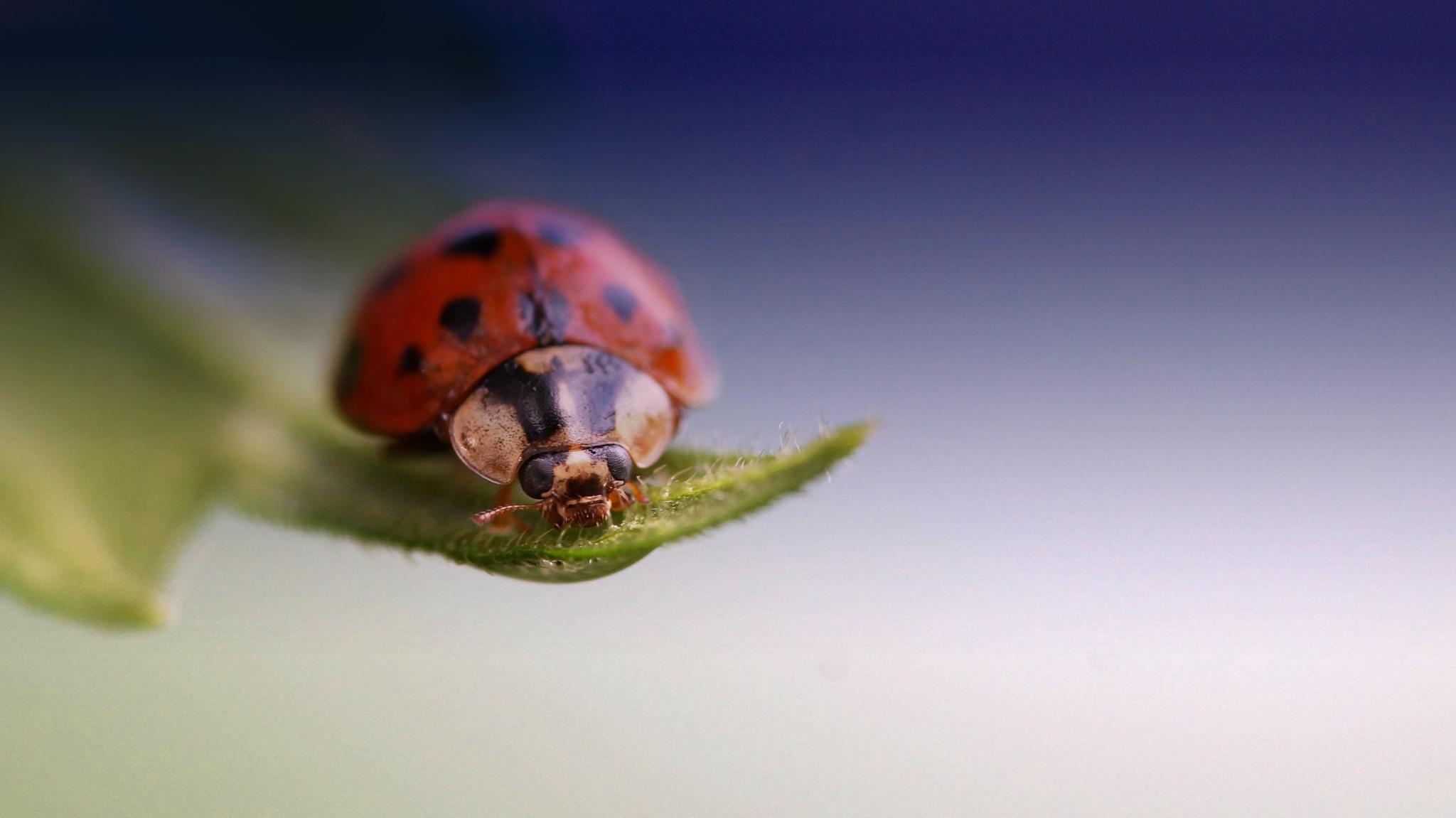 ladybug by leonnnnn