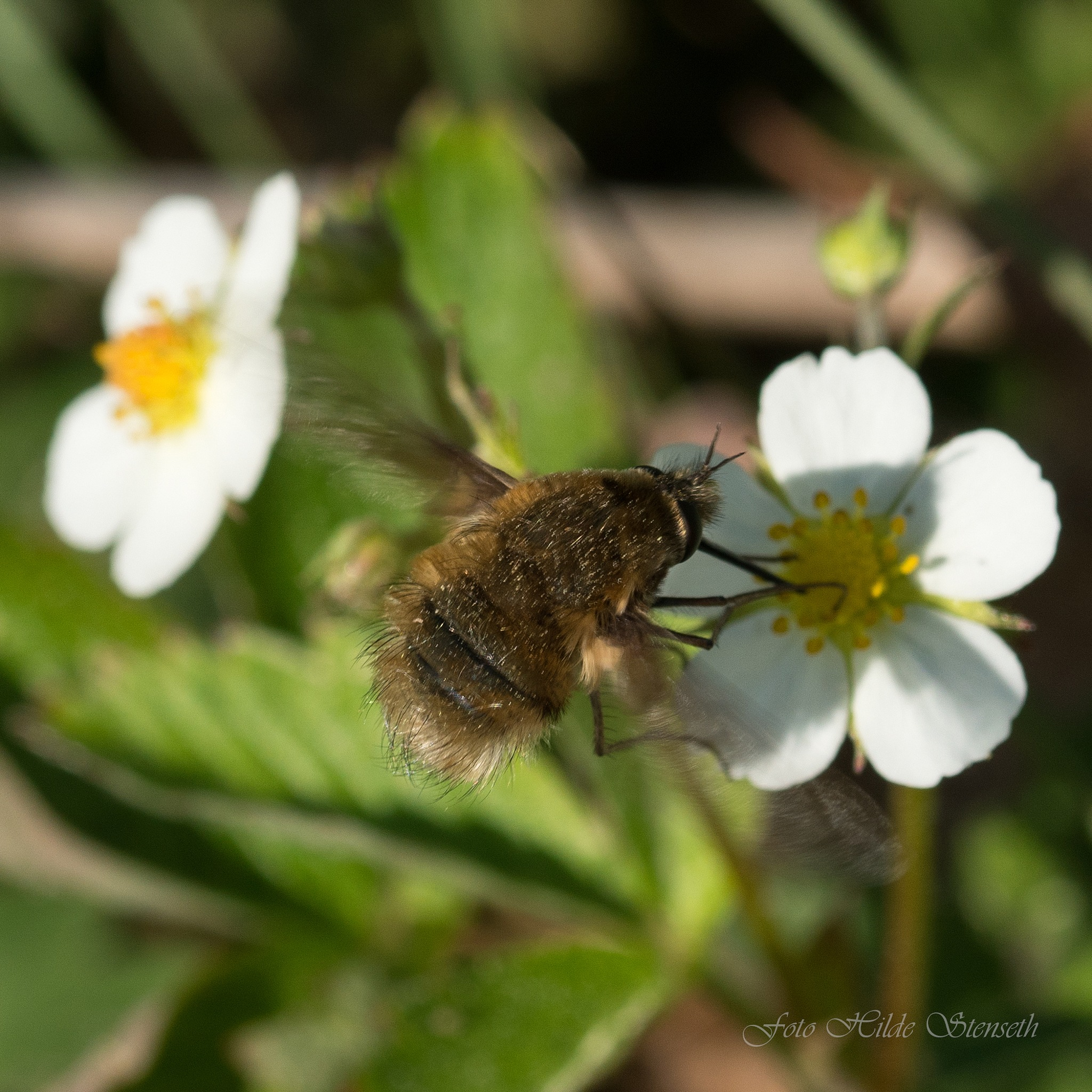 Bombyliidae! by hilde.stenseth.7