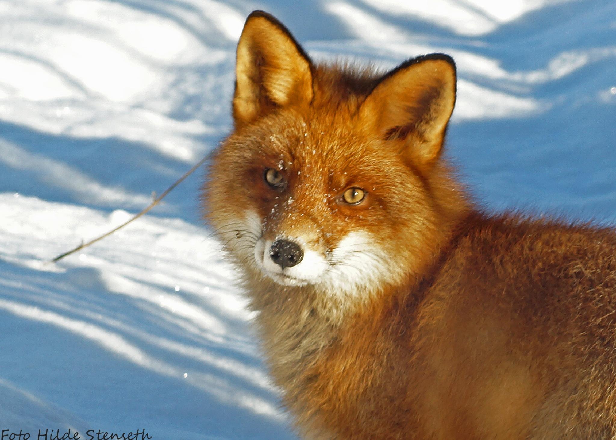 Fox! by hilde.stenseth.7