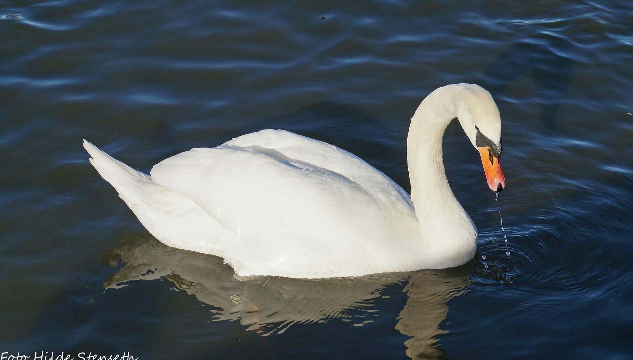 Swan! by hilde.stenseth.7