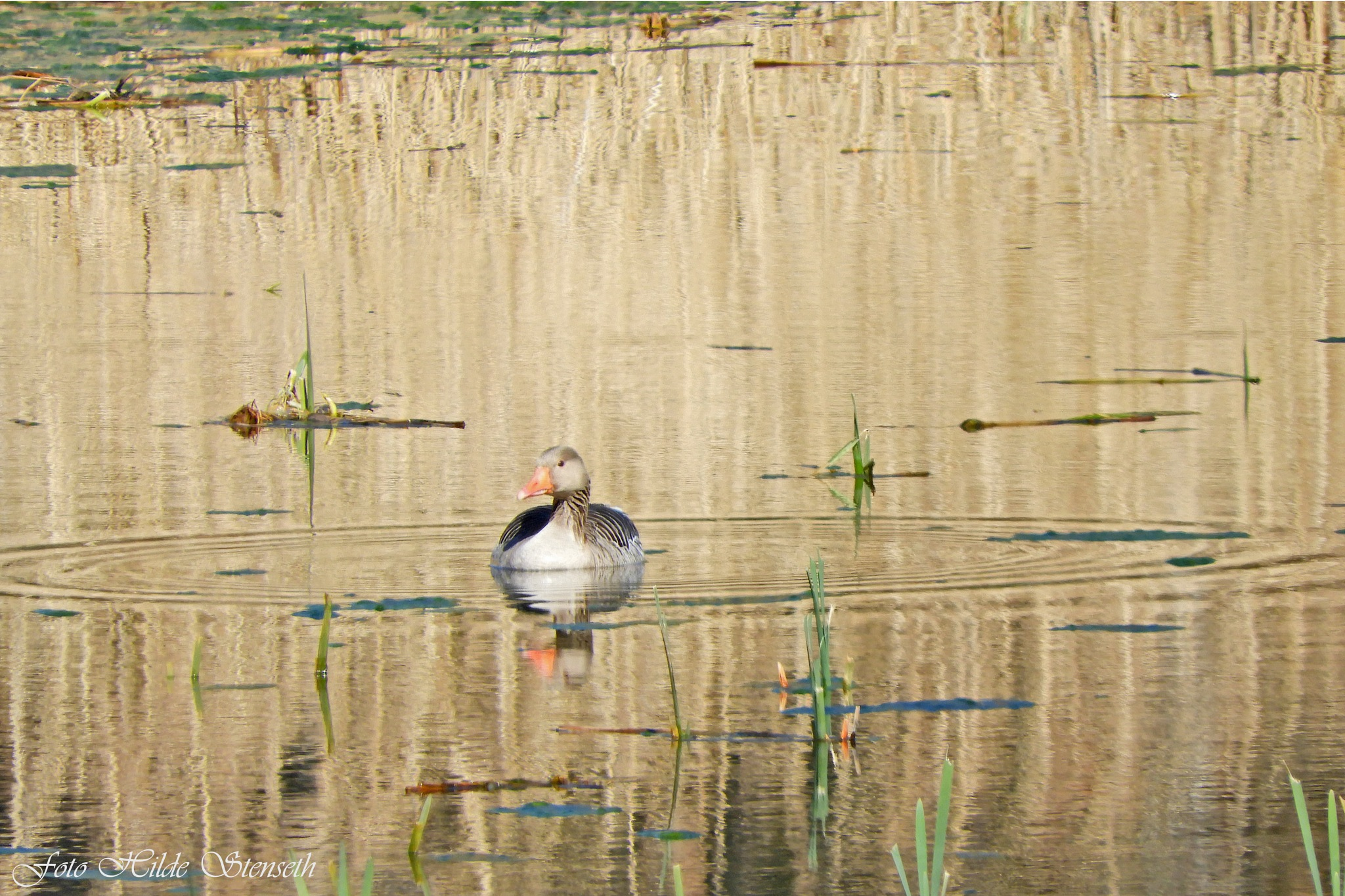 A Lonely Goose! by hilde.stenseth.7