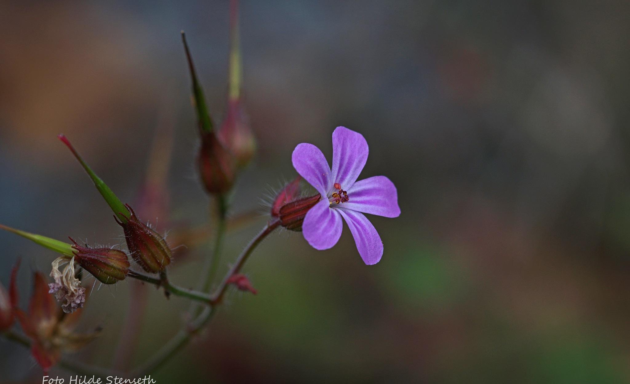 Wild flower! by hilde.stenseth.7