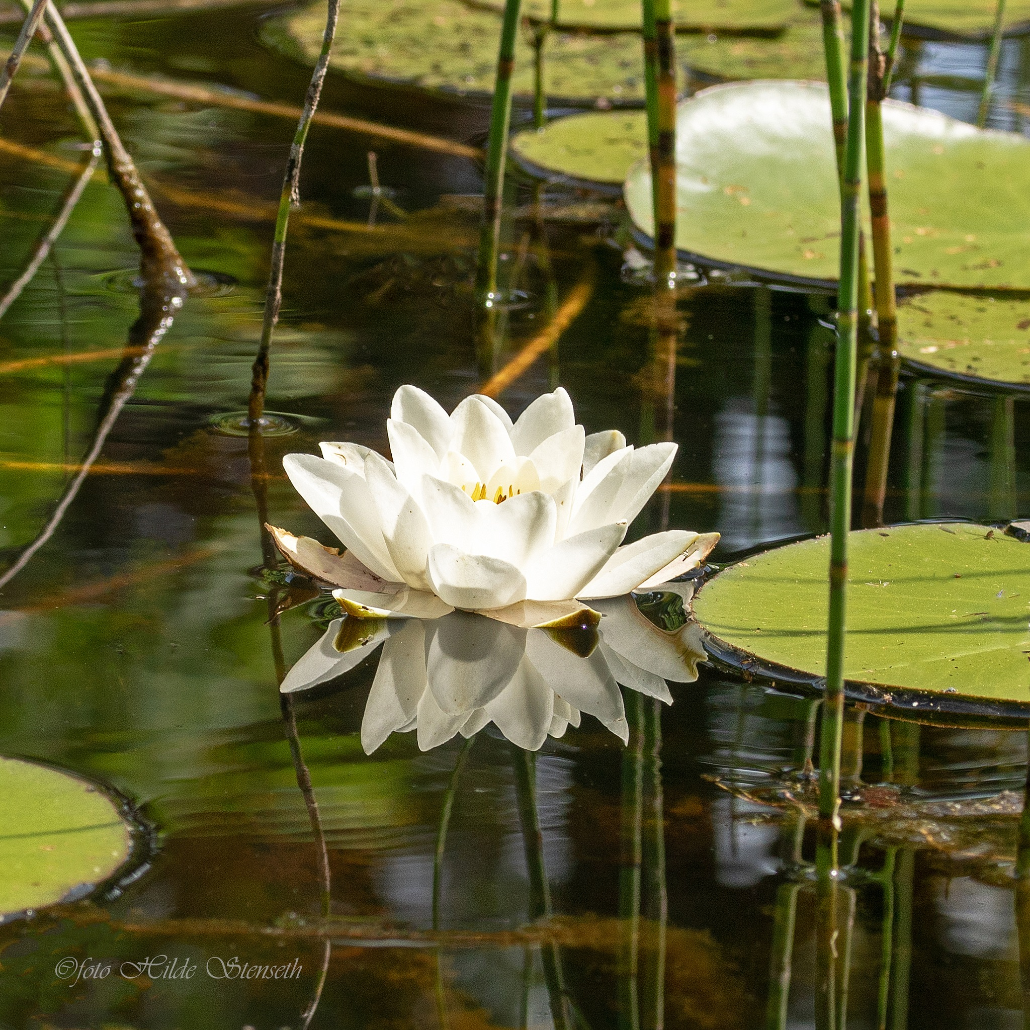 Waterlily! by hilde.stenseth.7