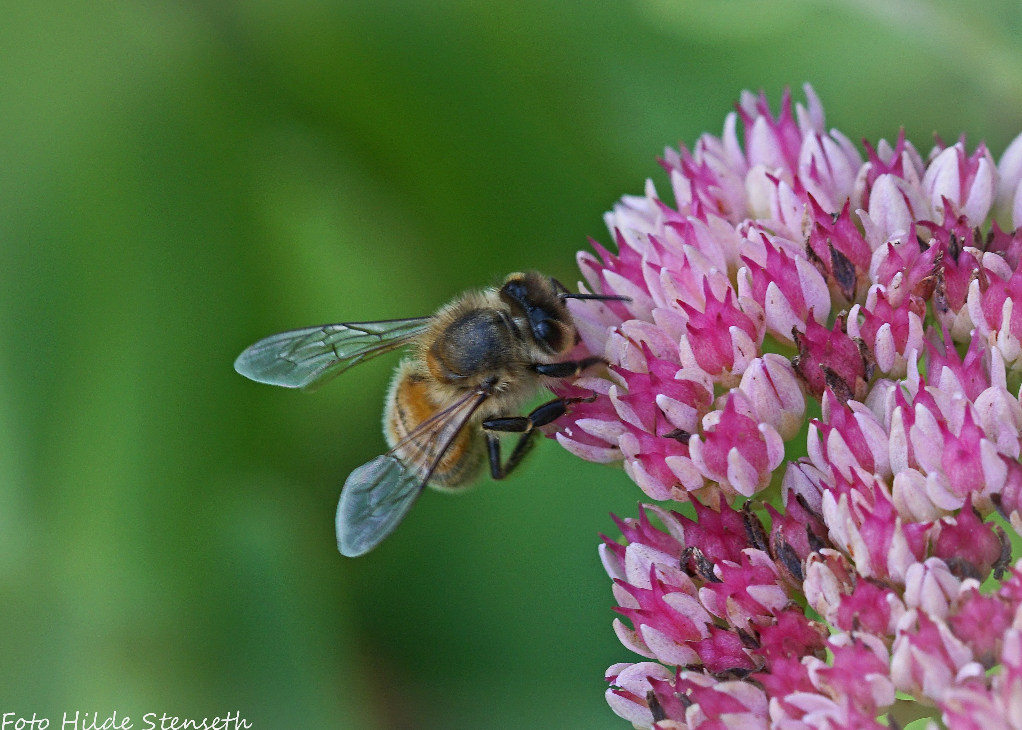 Hoverfly (2)! by hilde.stenseth.7