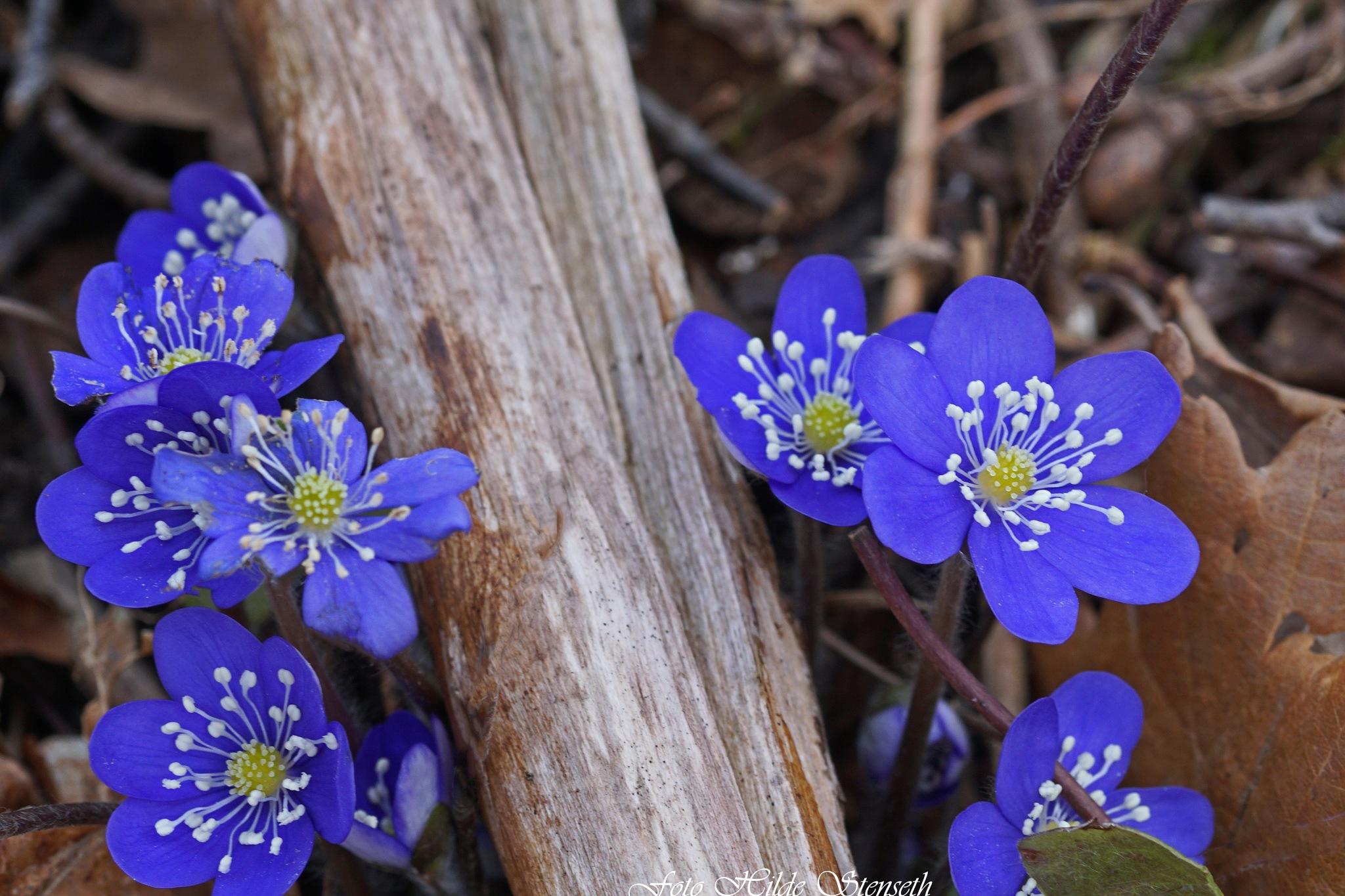Hepatica Nobilis! by hilde.stenseth.7