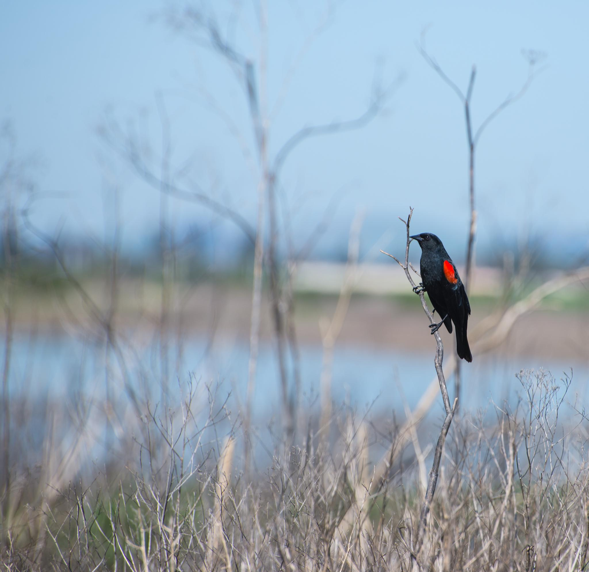 Red Wing Blackbird by davakers