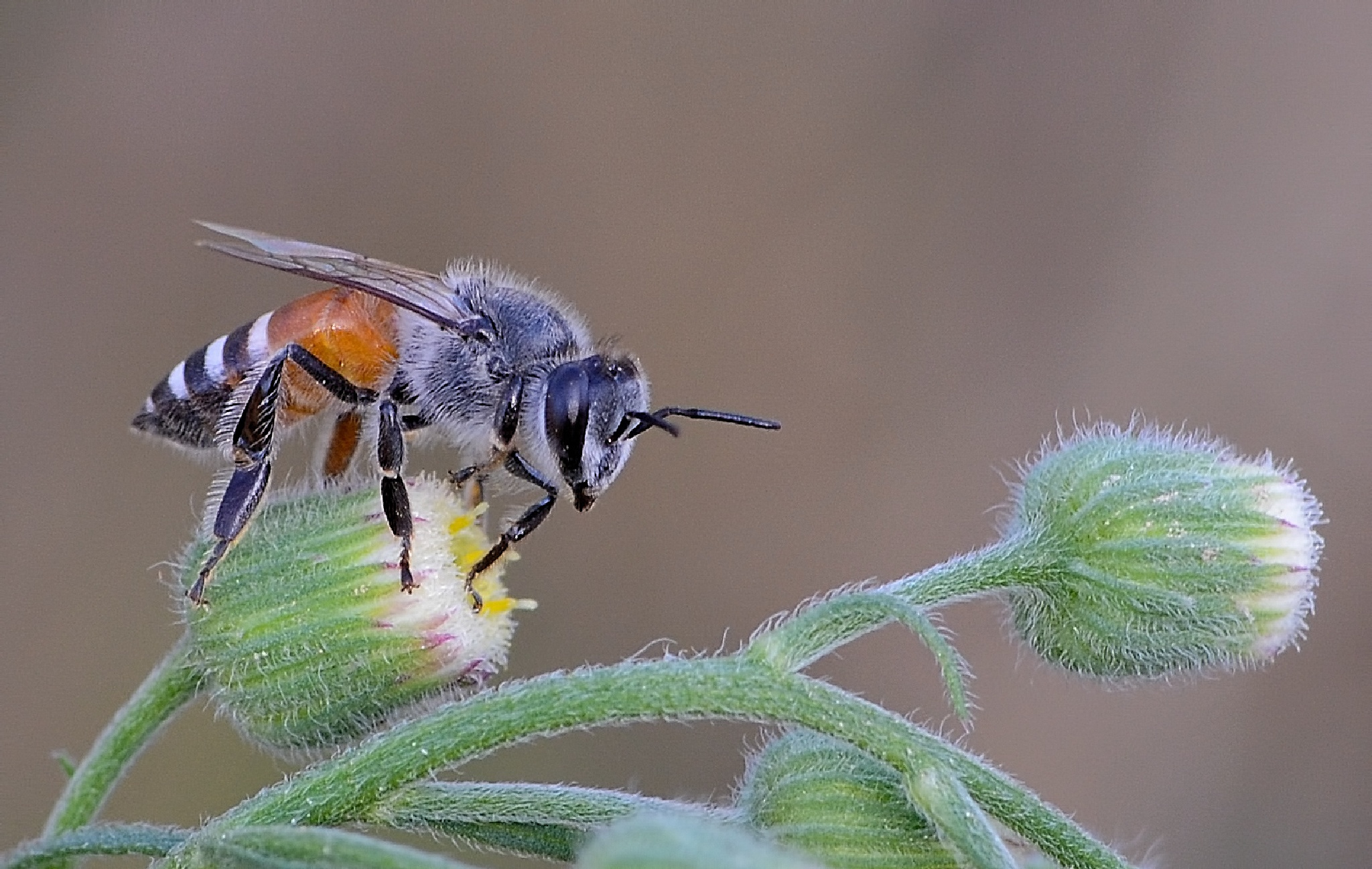 Zorova Bee by malekjmd10