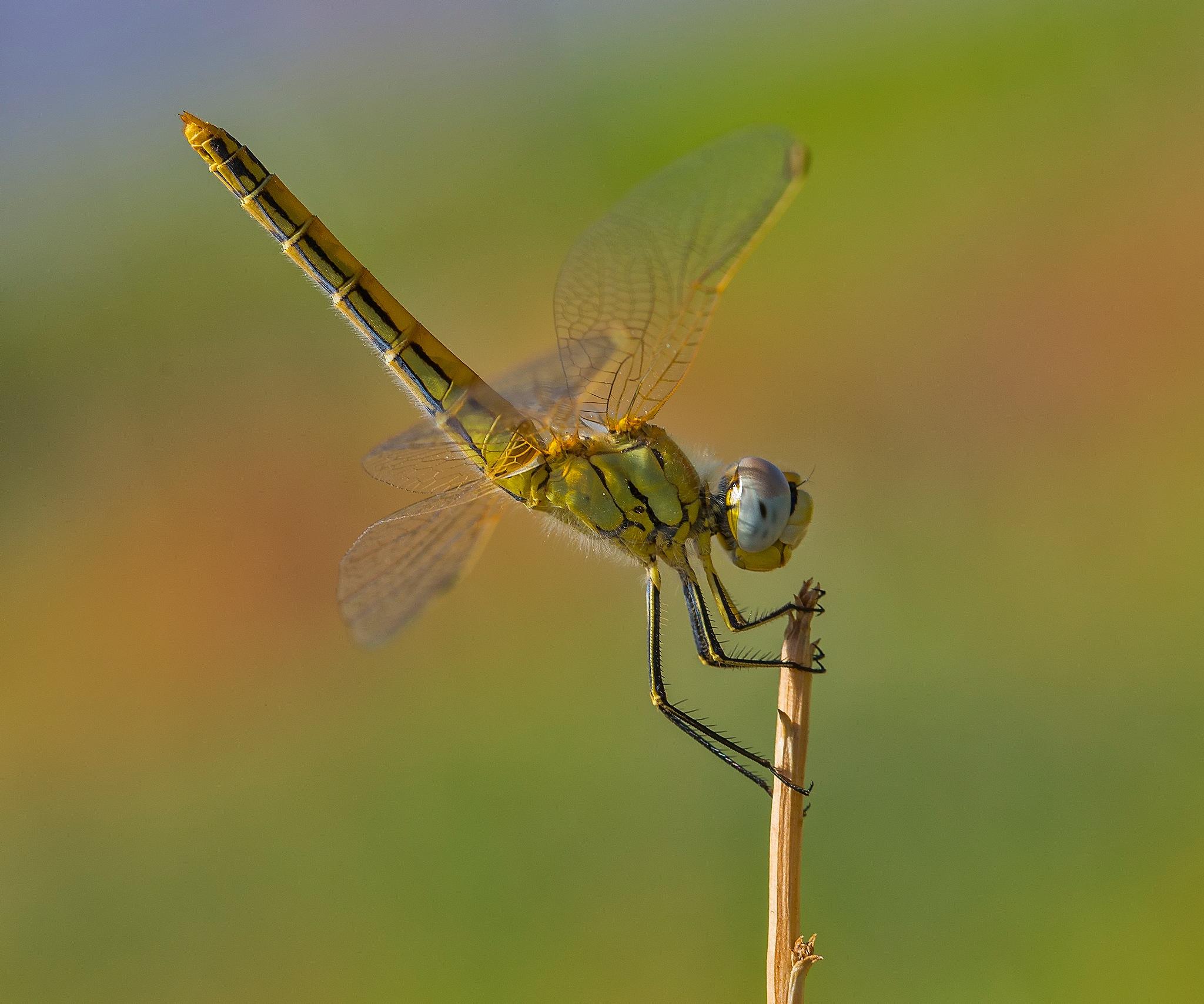 Dragonfly by malekjmd10