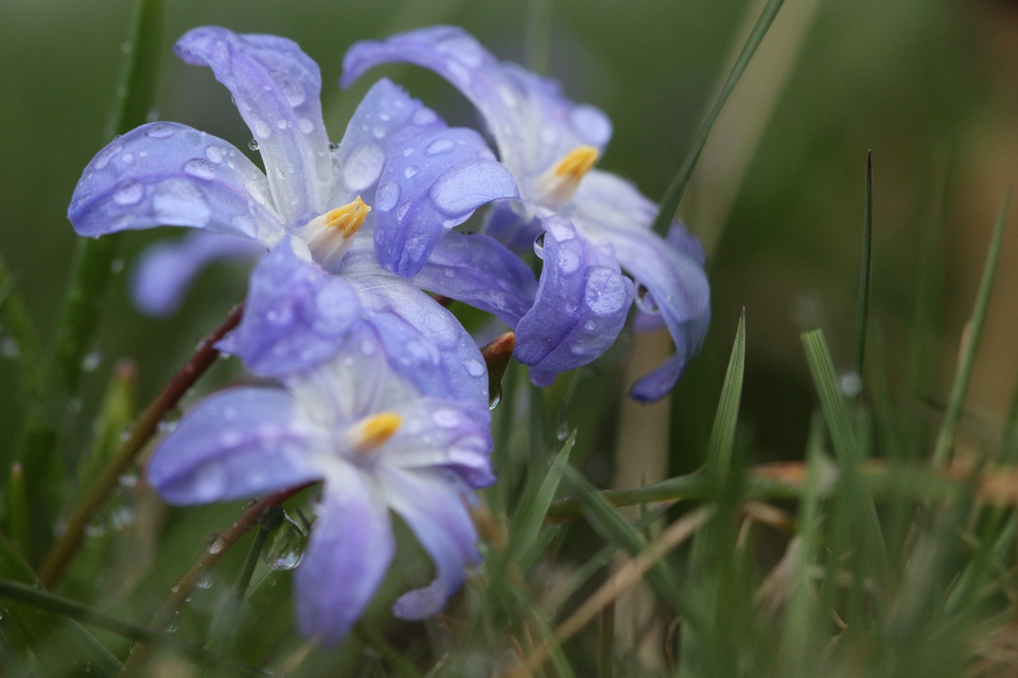 Photo in Macro #flowers #spring #raindrops #gardening #glory-of-the-snow #vårstjärna