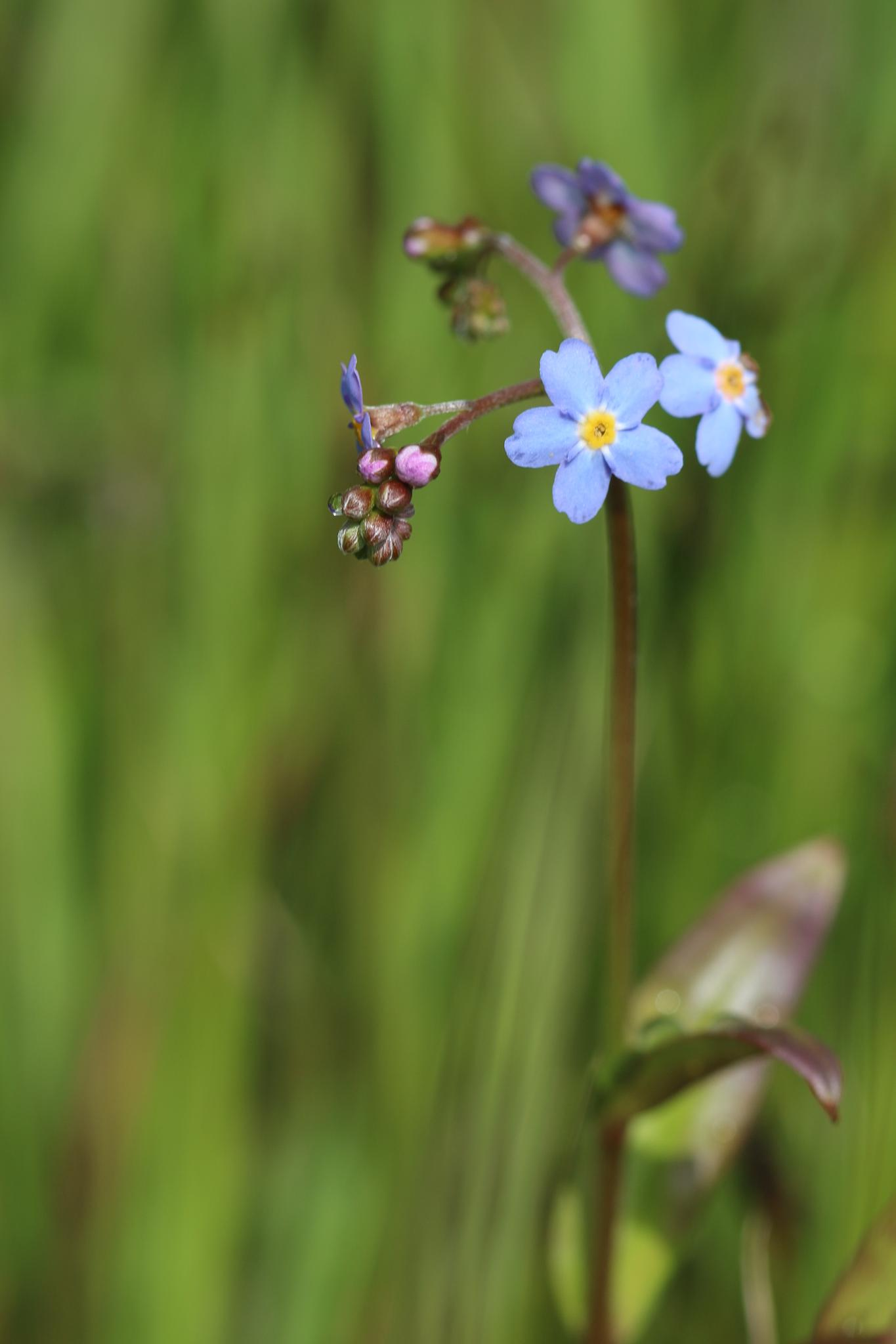 Forget-me-not by alf lundsten