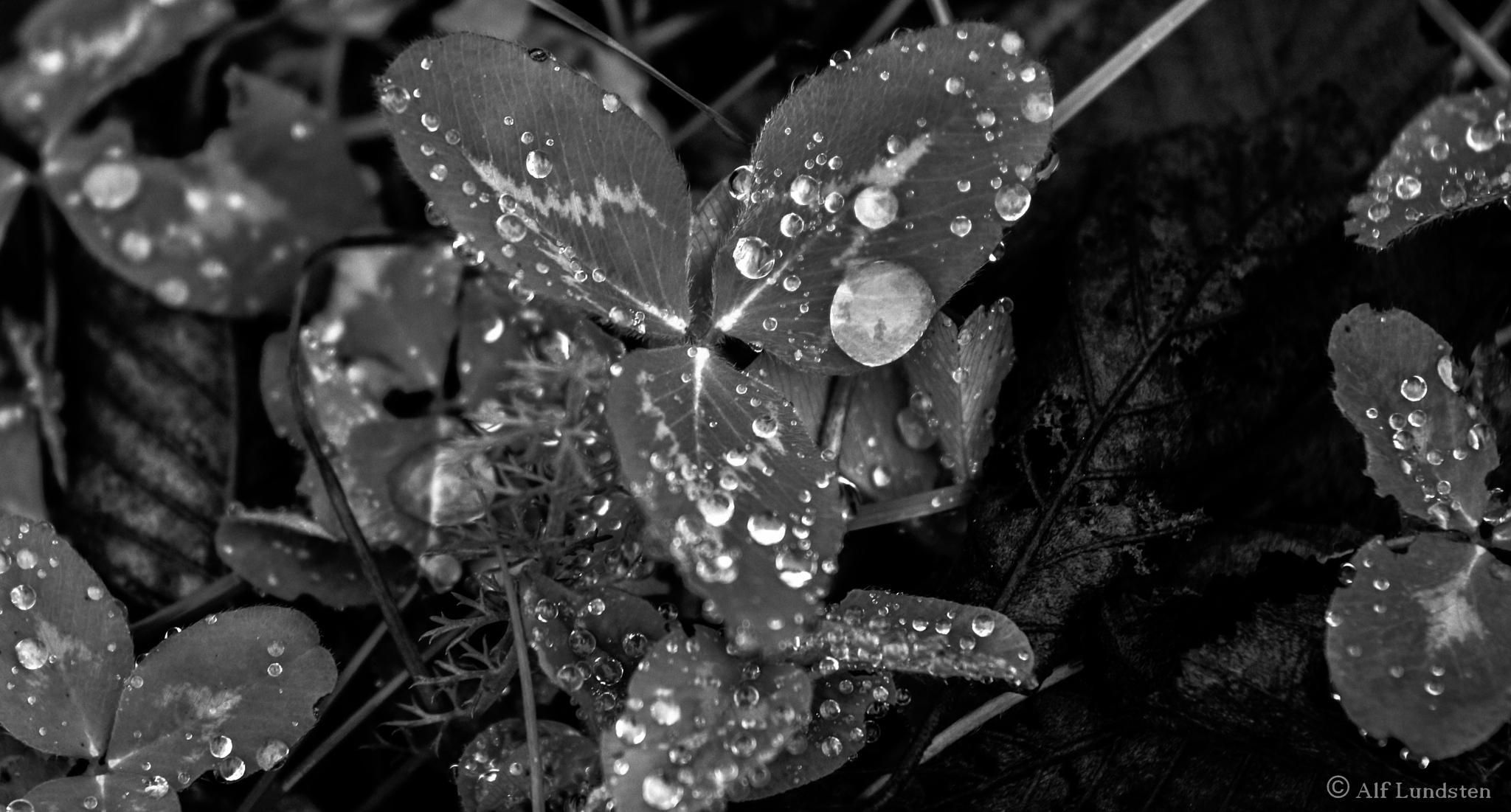 Singing in the rain by alf lundsten