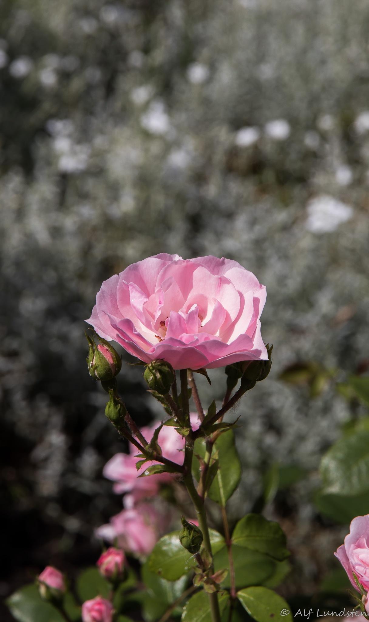 Rose-bokeh by alf lundsten