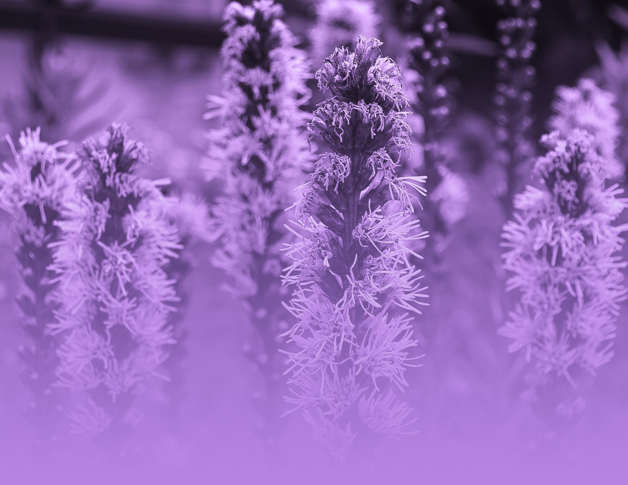 Purple haze by sue_duq