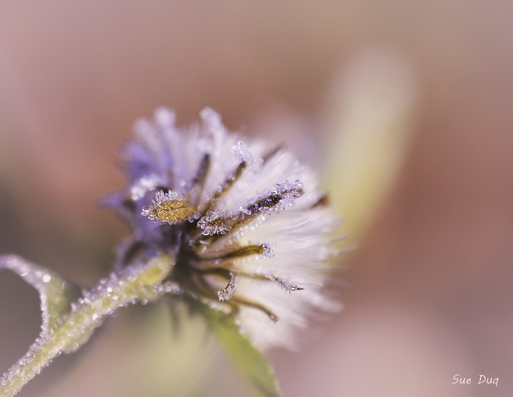 Frost crystals by sue_duq