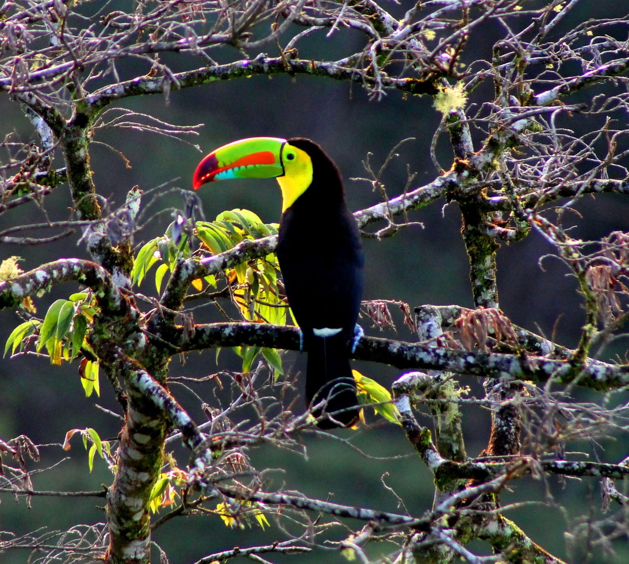 Keel billed toucan by renzo.sturmo