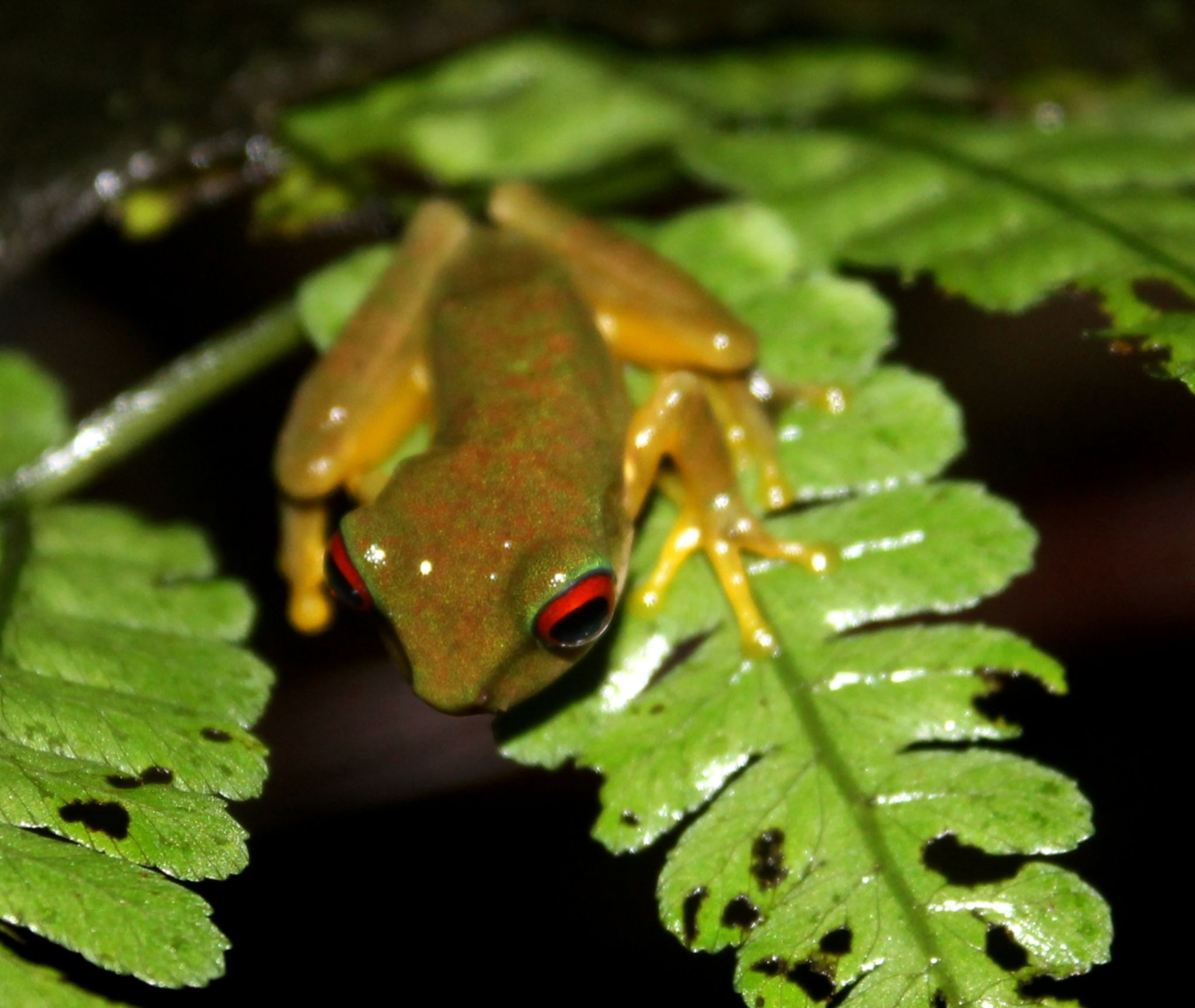 Frog by renzo.sturmo