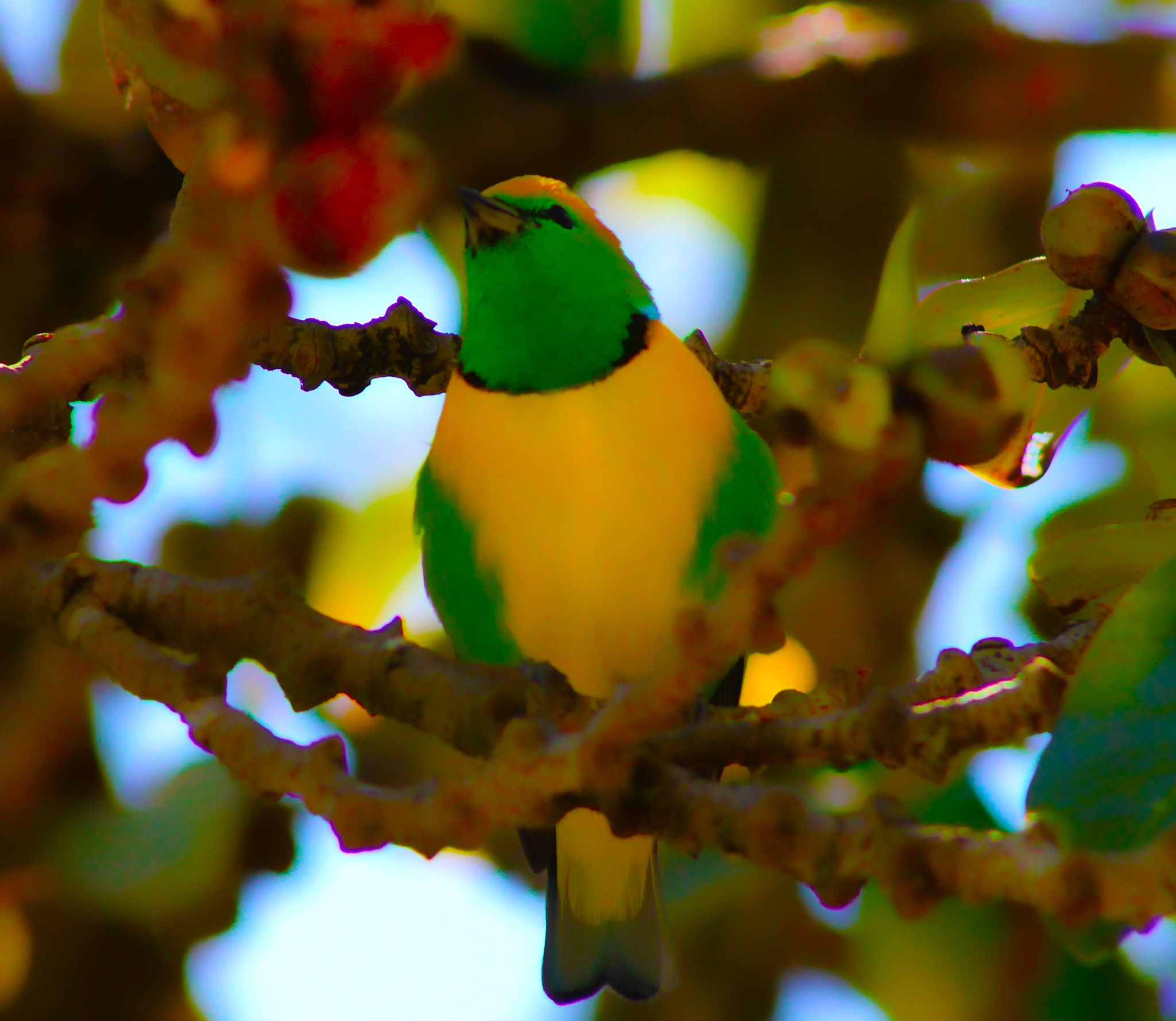 Golden browed chlorophonia male by renzo.sturmo