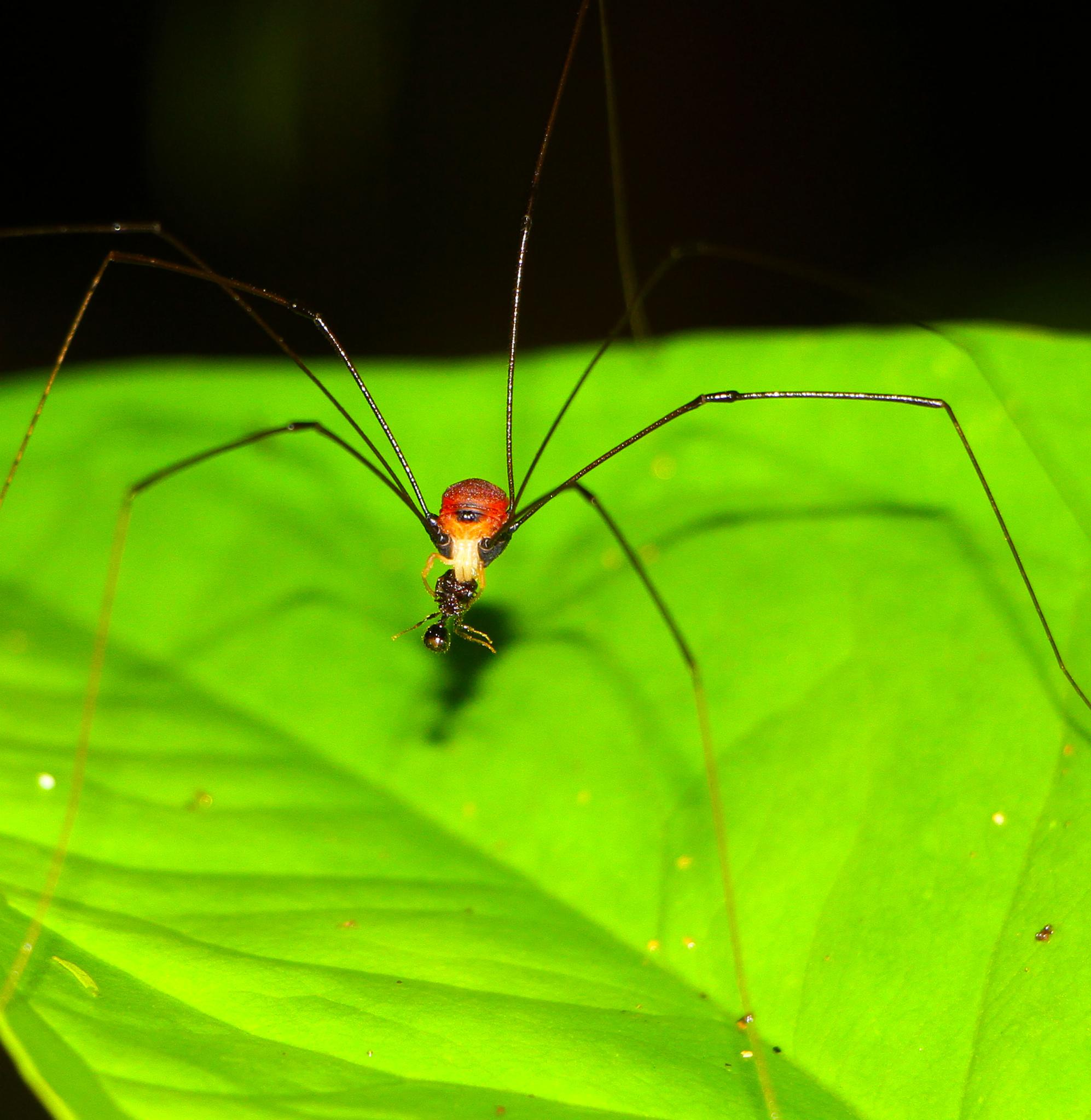 Spider eating ant by renzo.sturmo