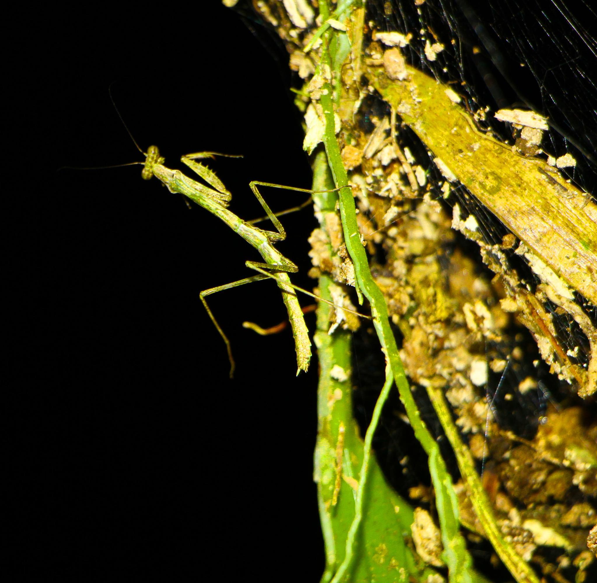 Pray mantis by renzo.sturmo