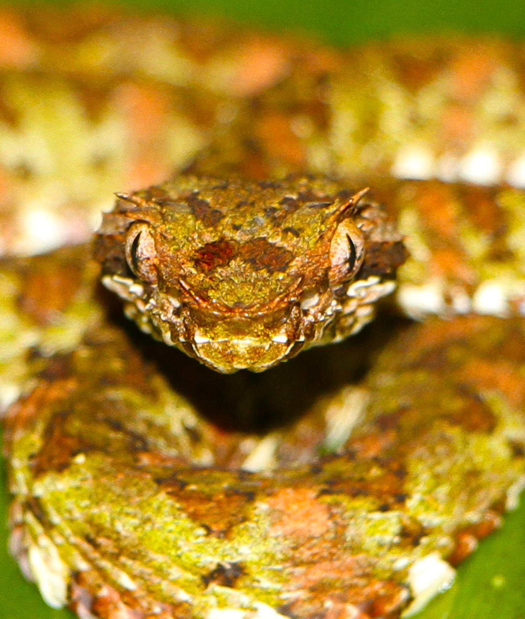 Bocaraca'  snake by renzo.sturmo
