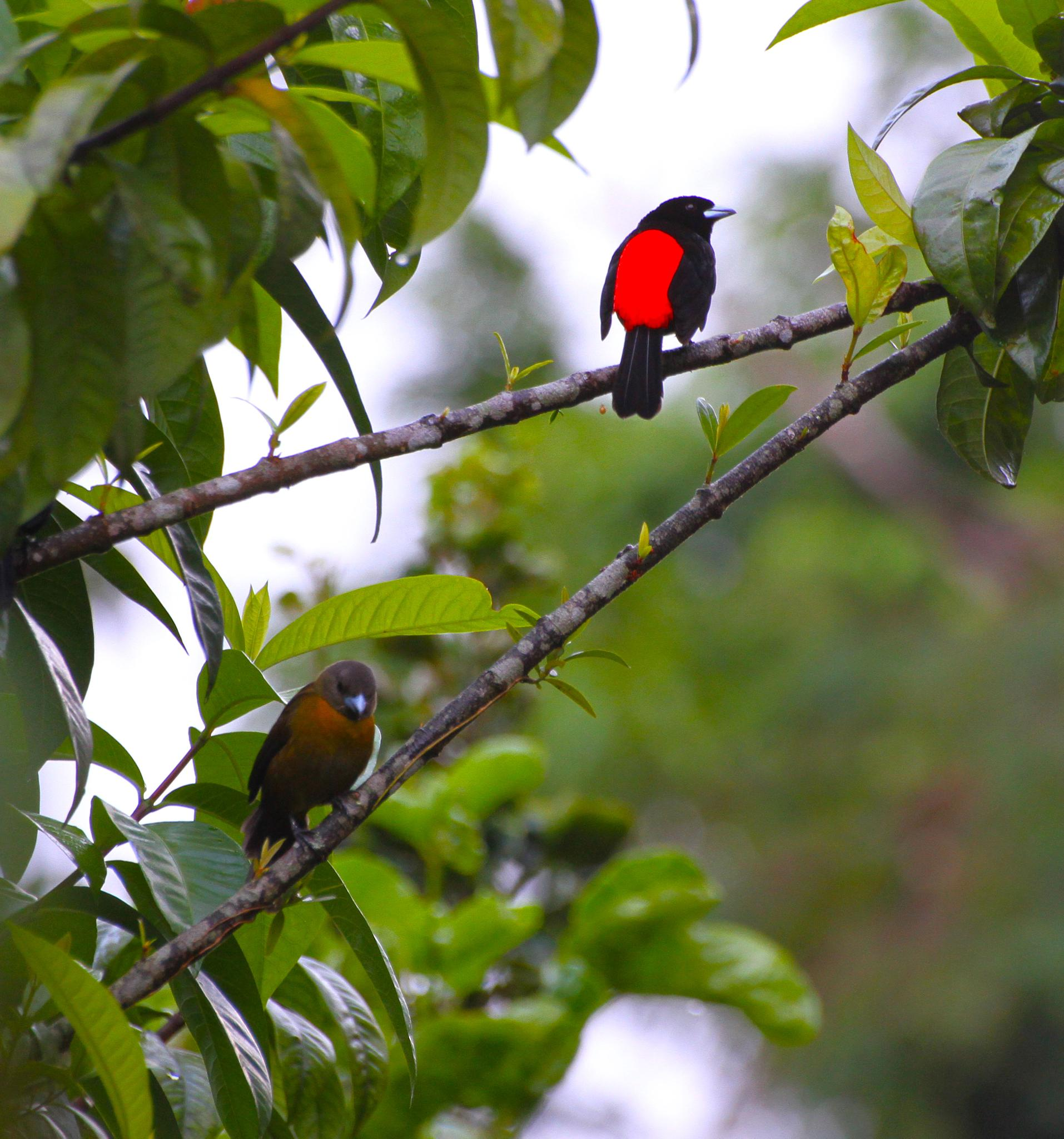 Passerini tanager male (right) female (left) by renzo.sturmo
