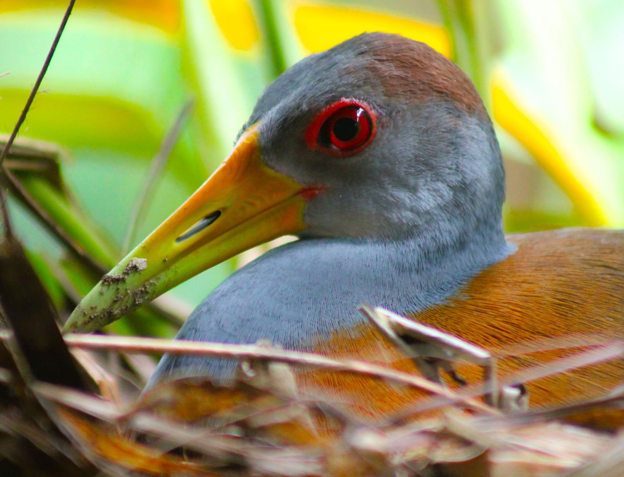 Gray necked wood rail by renzo.sturmo