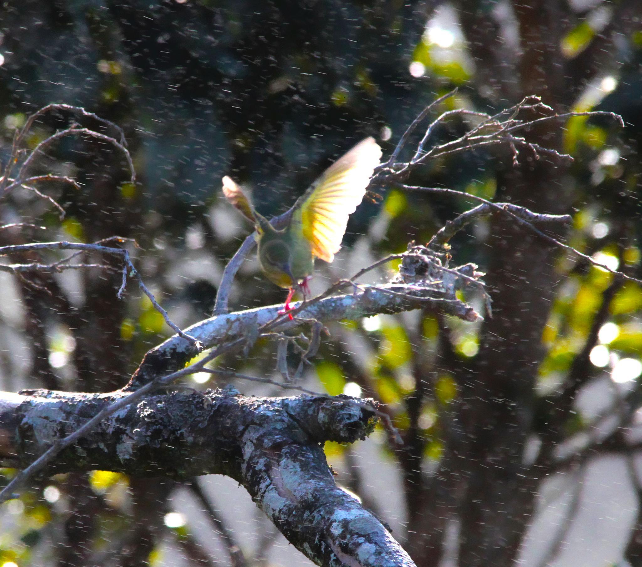 Red legged honeycreeper fighting against wind and rain.... by renzo.sturmo