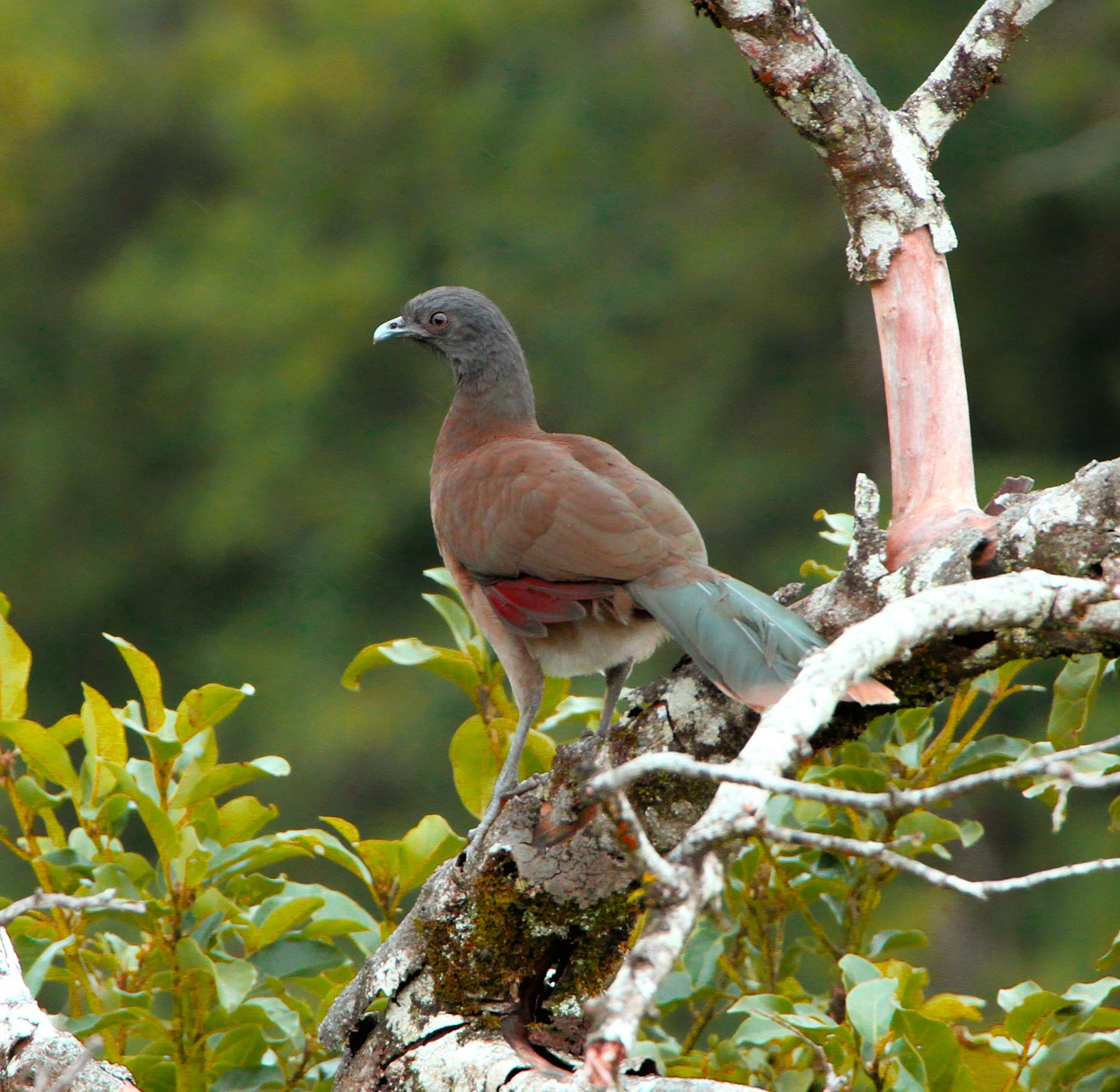 Gray headed chachalaca by renzo.sturmo