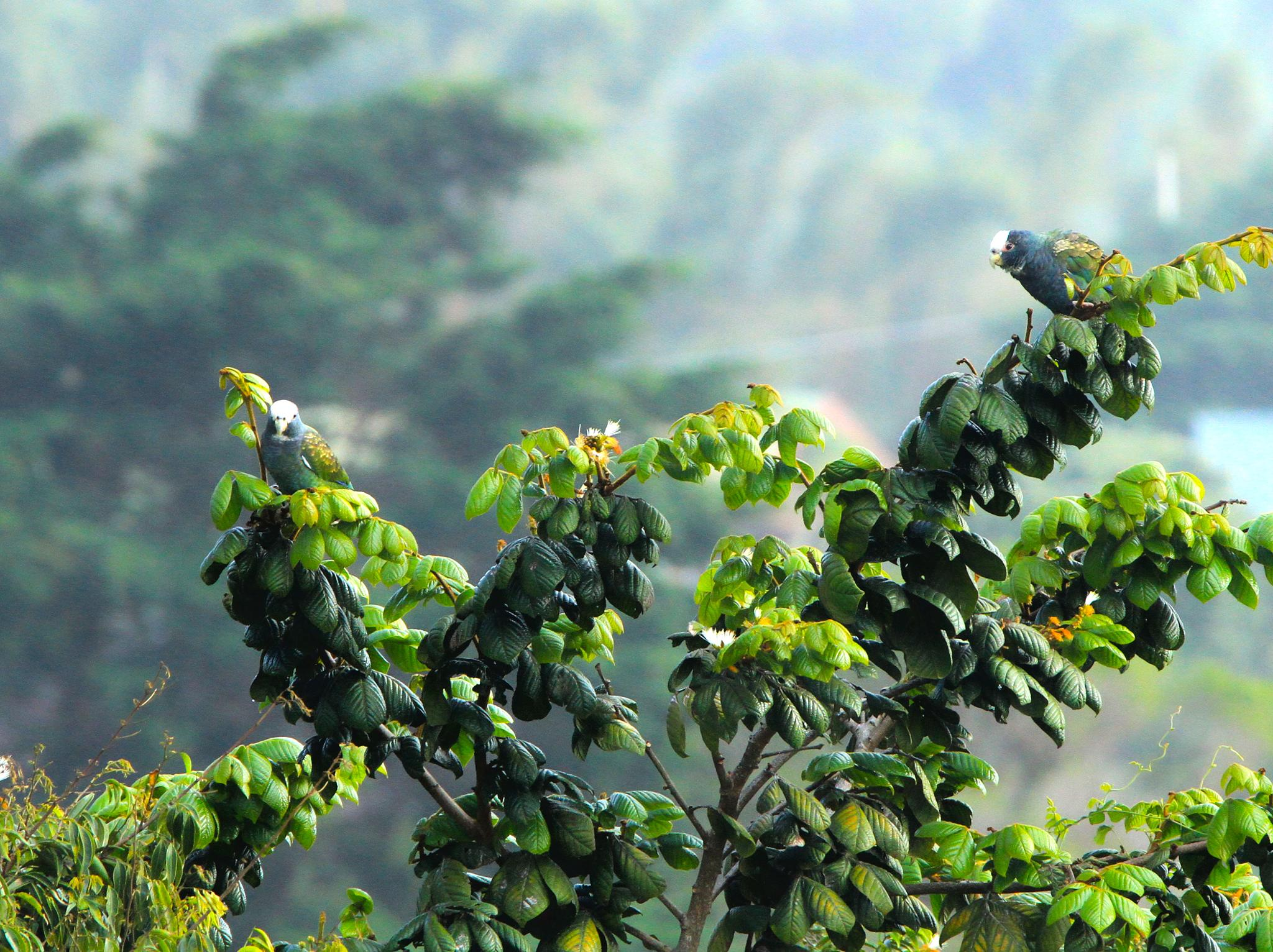 White crowned parrot by renzo.sturmo