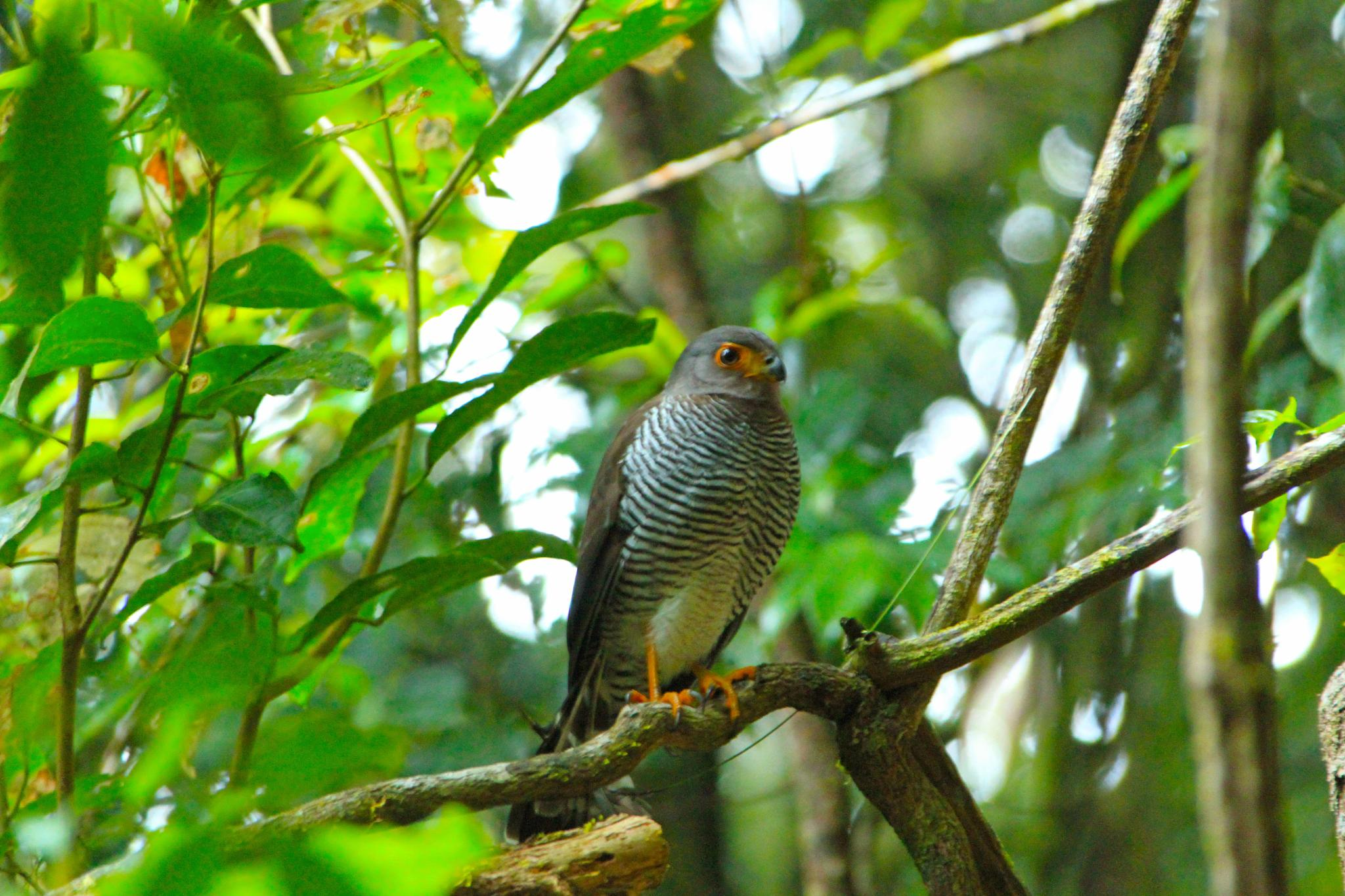 Barred forest falcon by renzo.sturmo