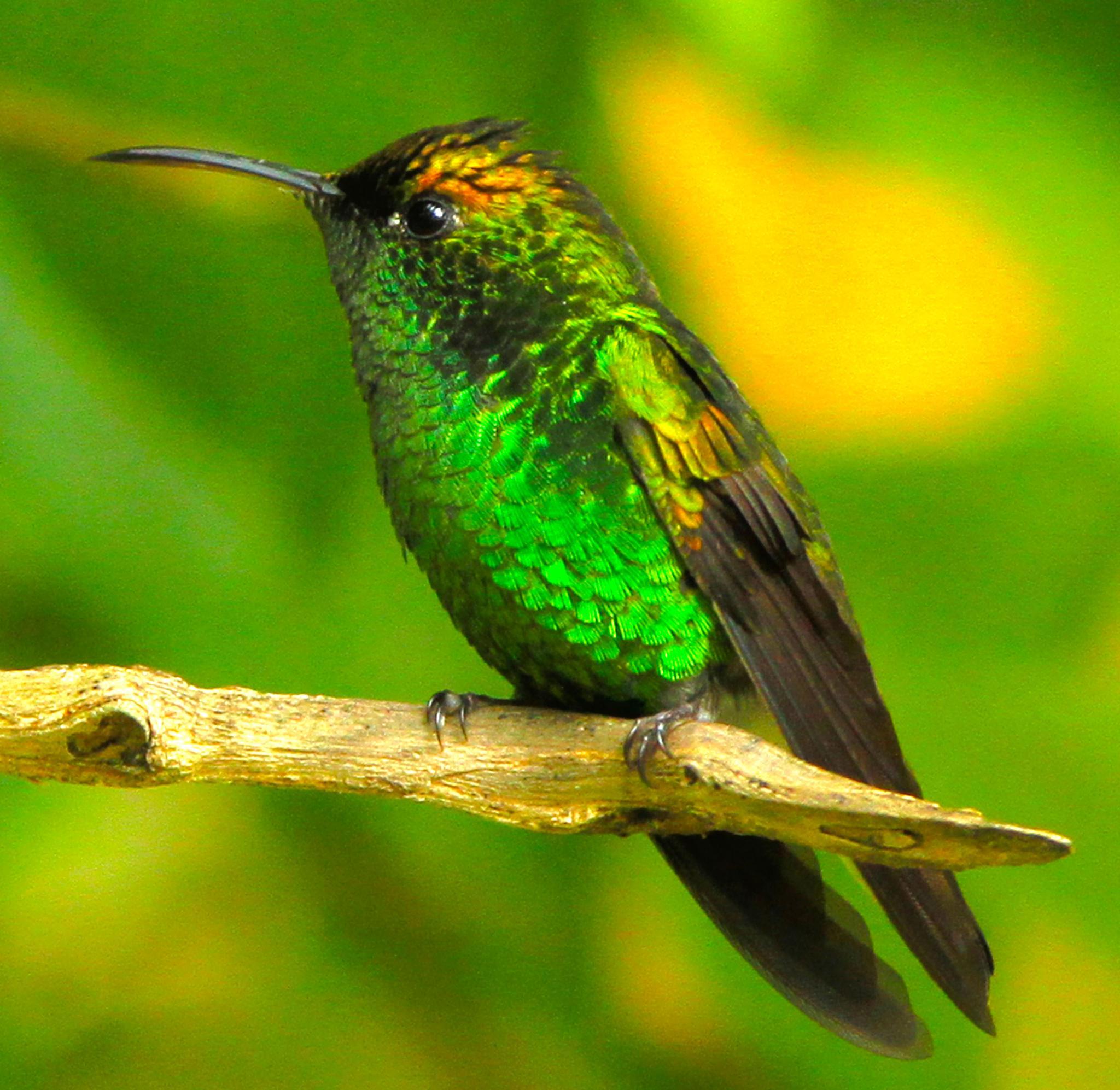 Hummingbird by renzo.sturmo