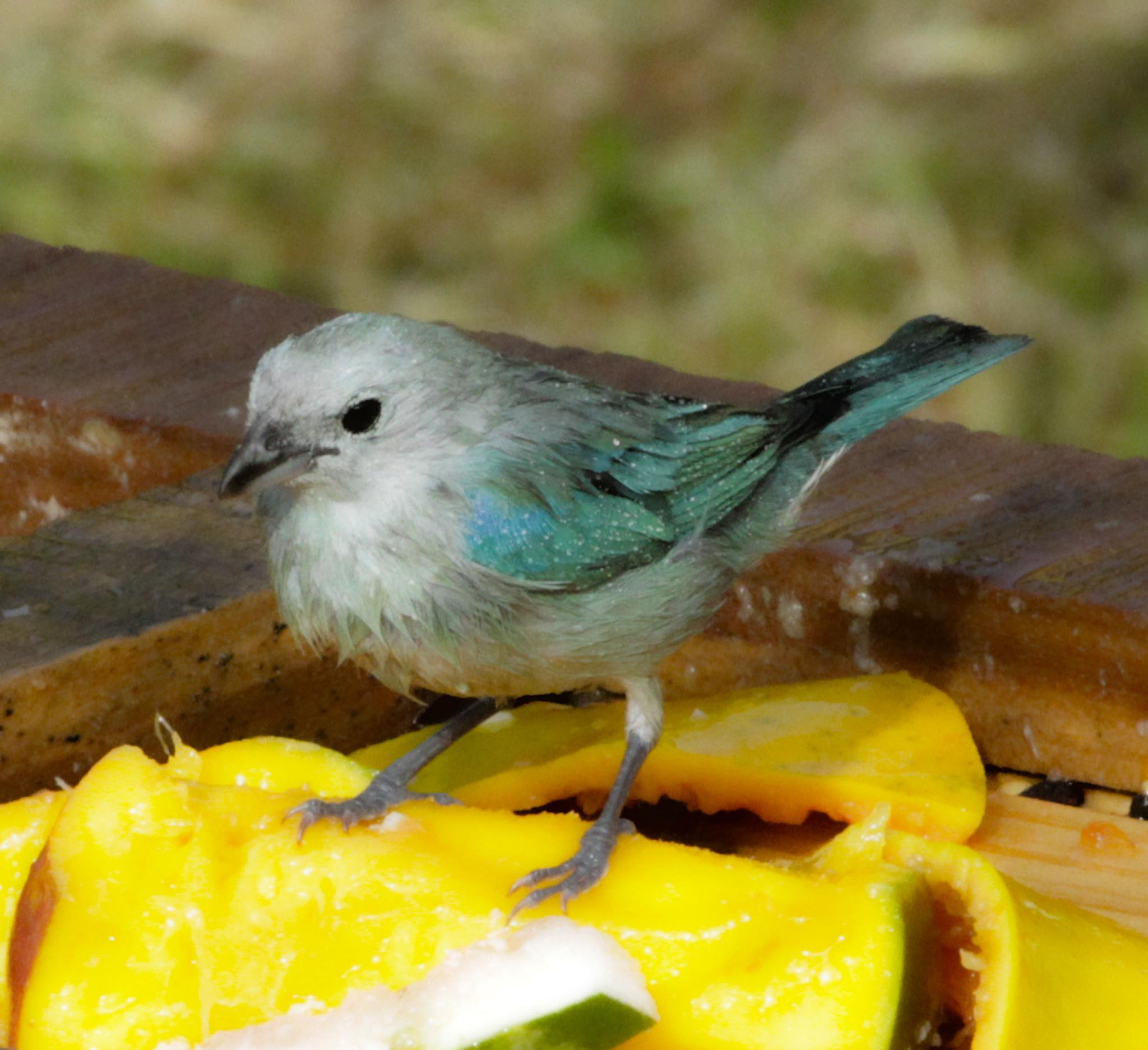 Blue gray tanager by renzo.sturmo