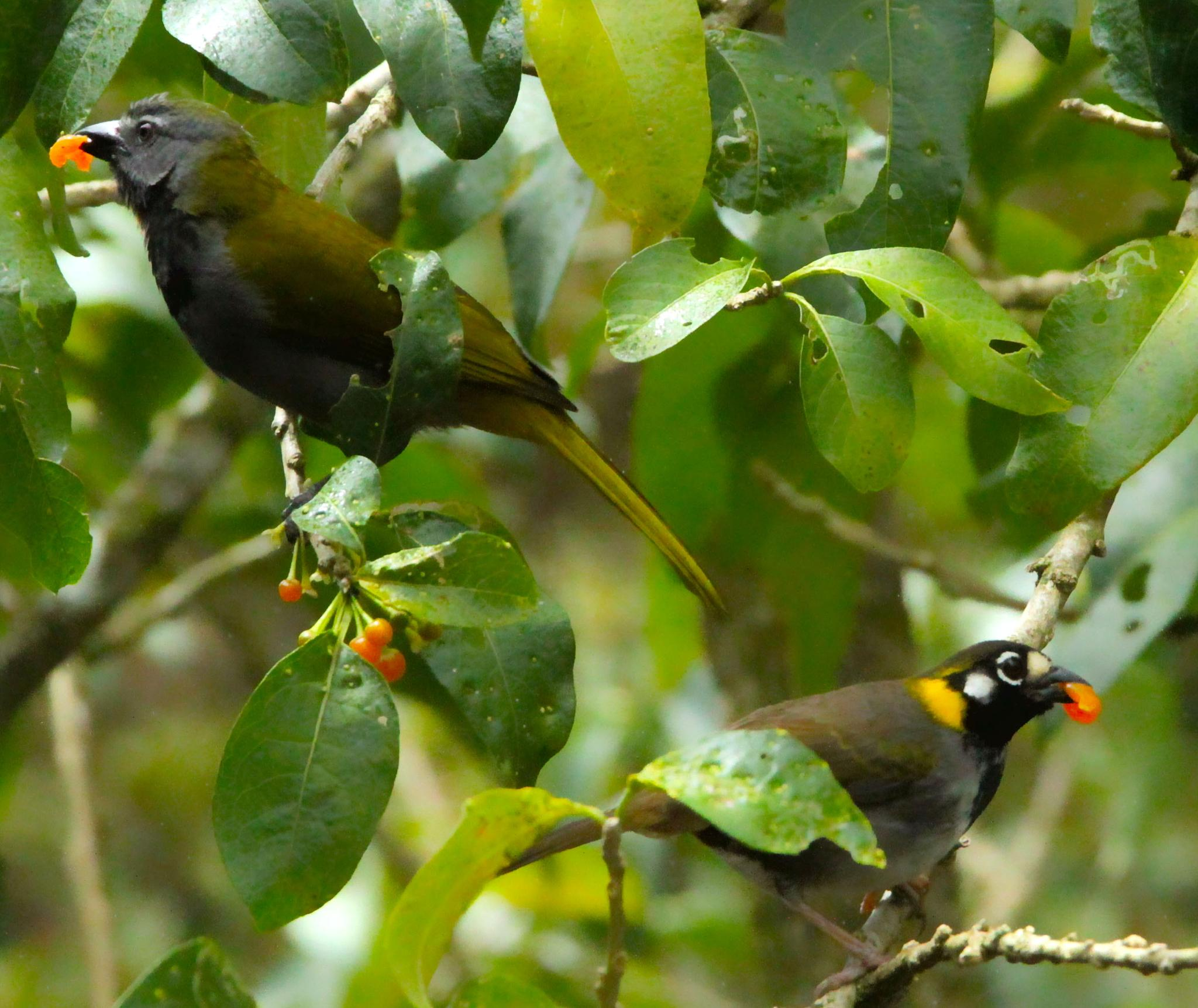 Buff throated saltator with white eared ground sparrow eating by renzo.sturmo