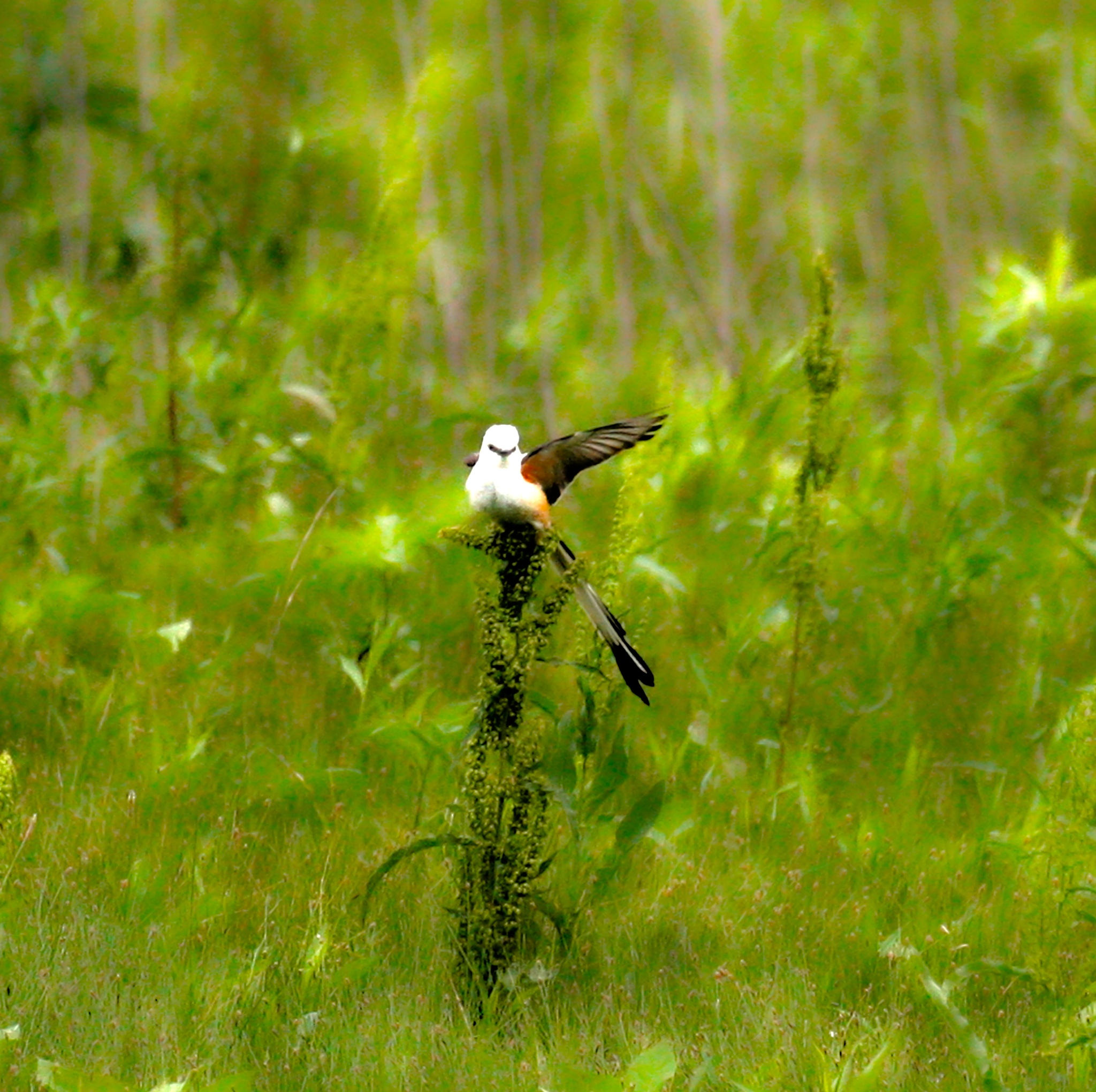 Scissor tailed flycatcher by renzo.sturmo