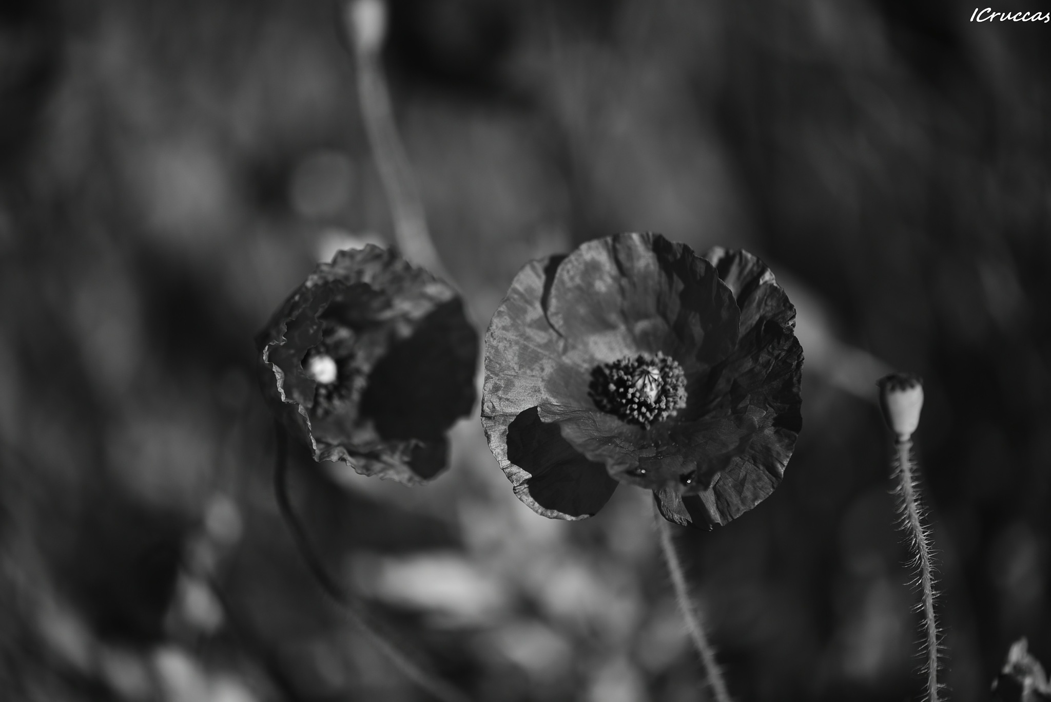 Black poppie by ignazio cruccas