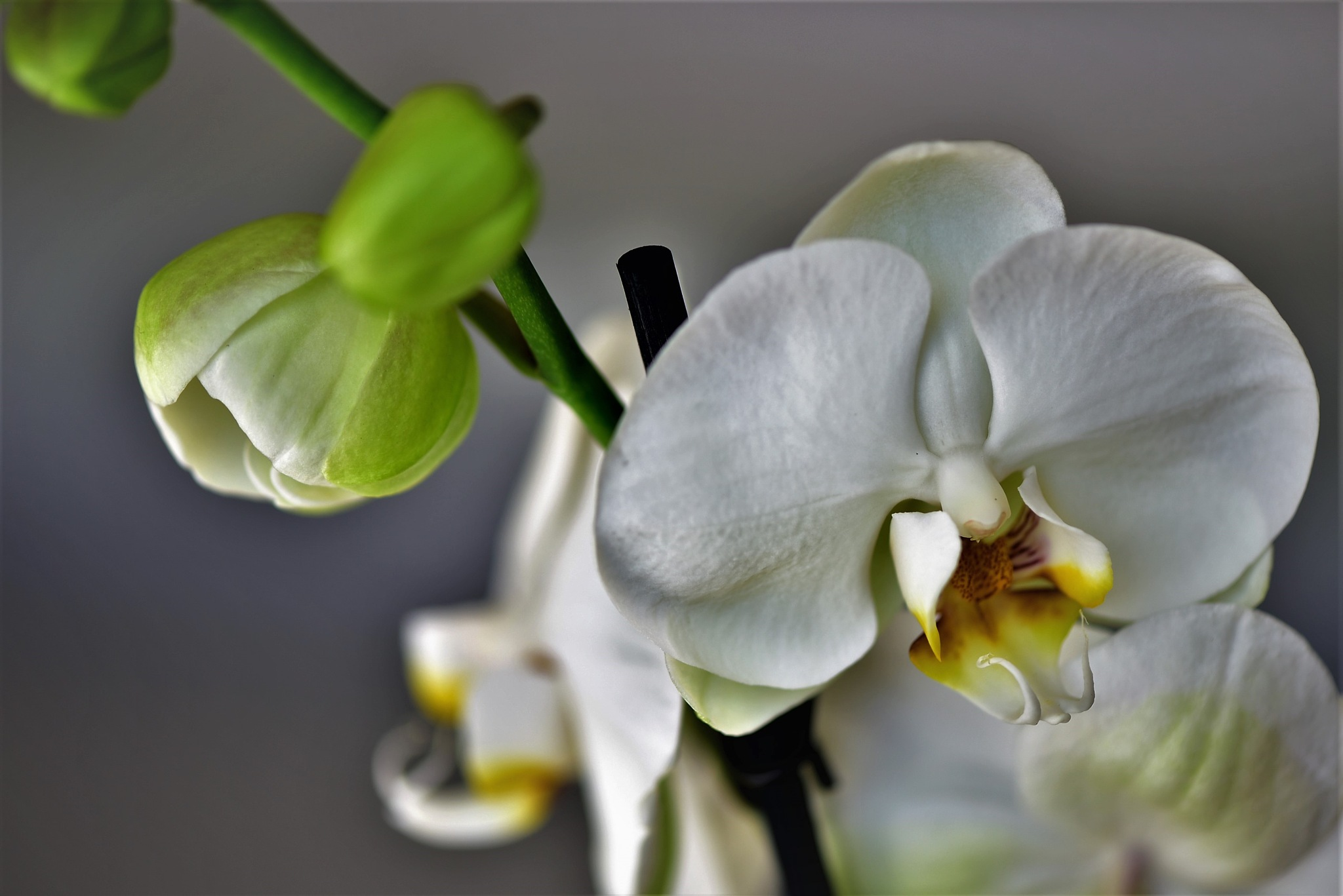 Orchids by ignazio cruccas