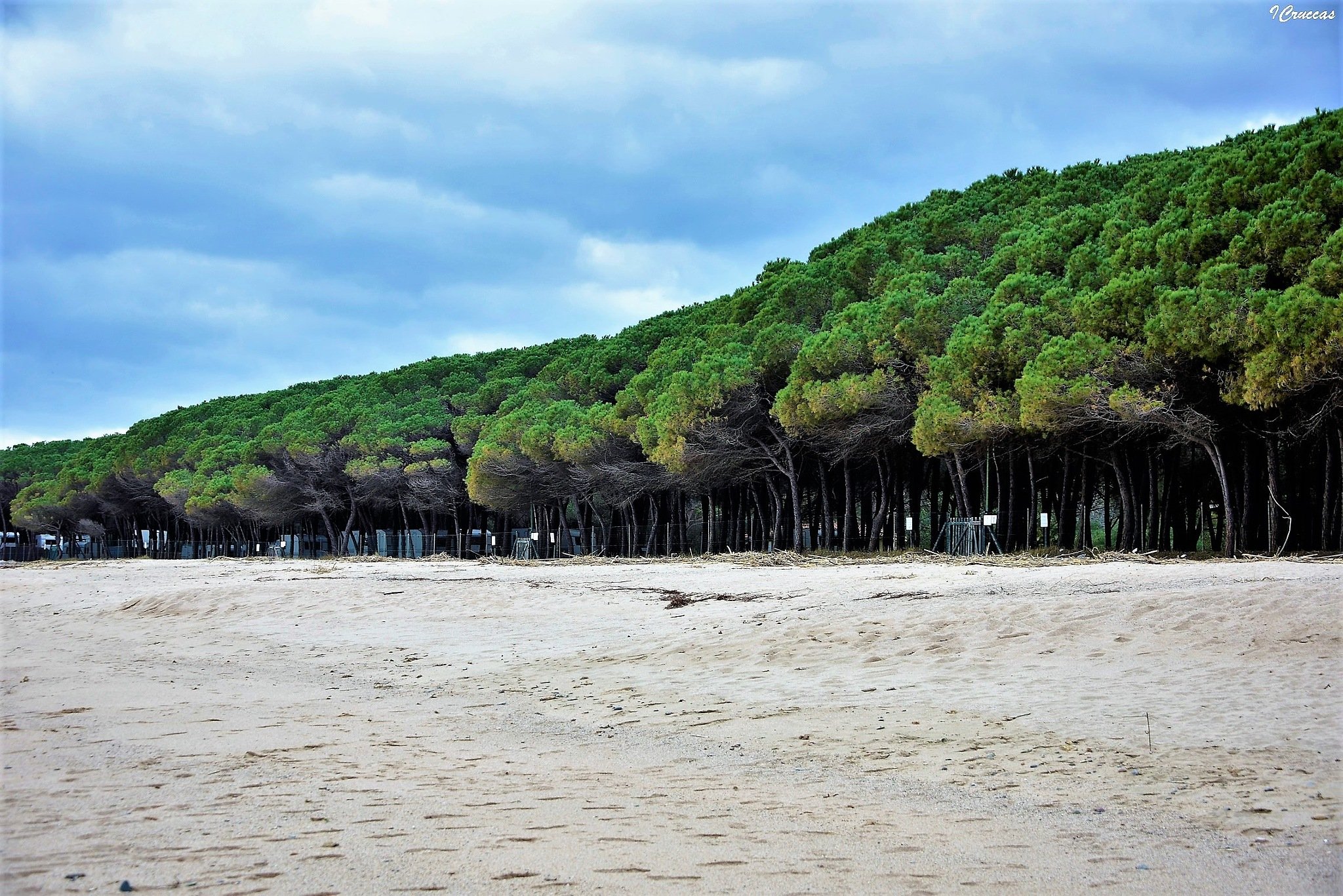 Maritime pine green color by ignazio cruccas