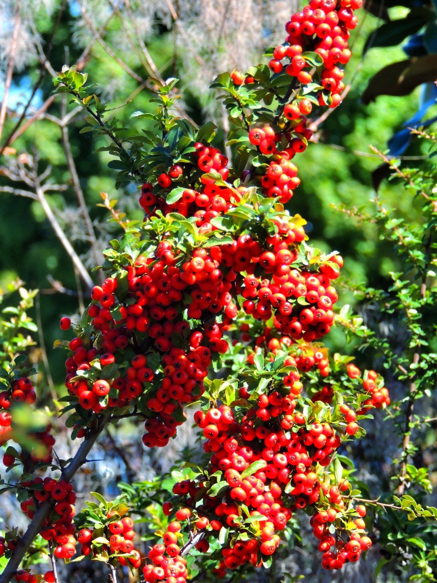 Pyracantha Berries by PMcWhirt