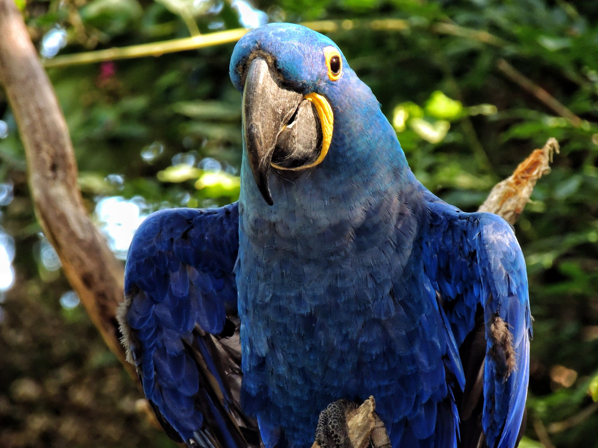 Hyacinth Macaw by PMcWhirt