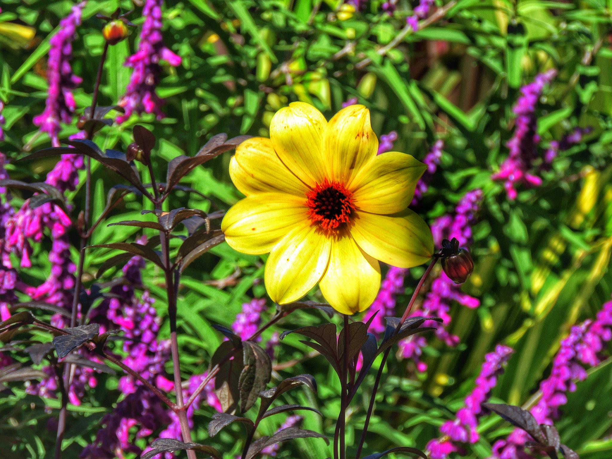 Single Yellow Flower among the Purple by PMcWhirt