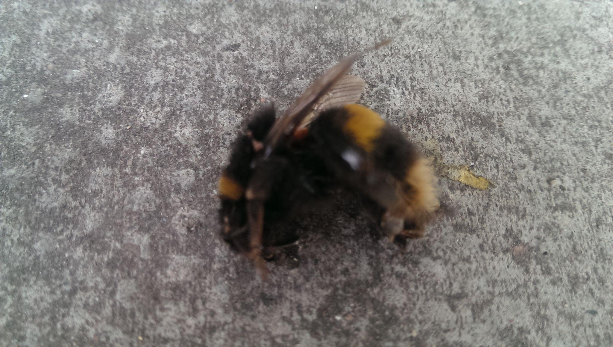 Dead Bee by OykaZsawok